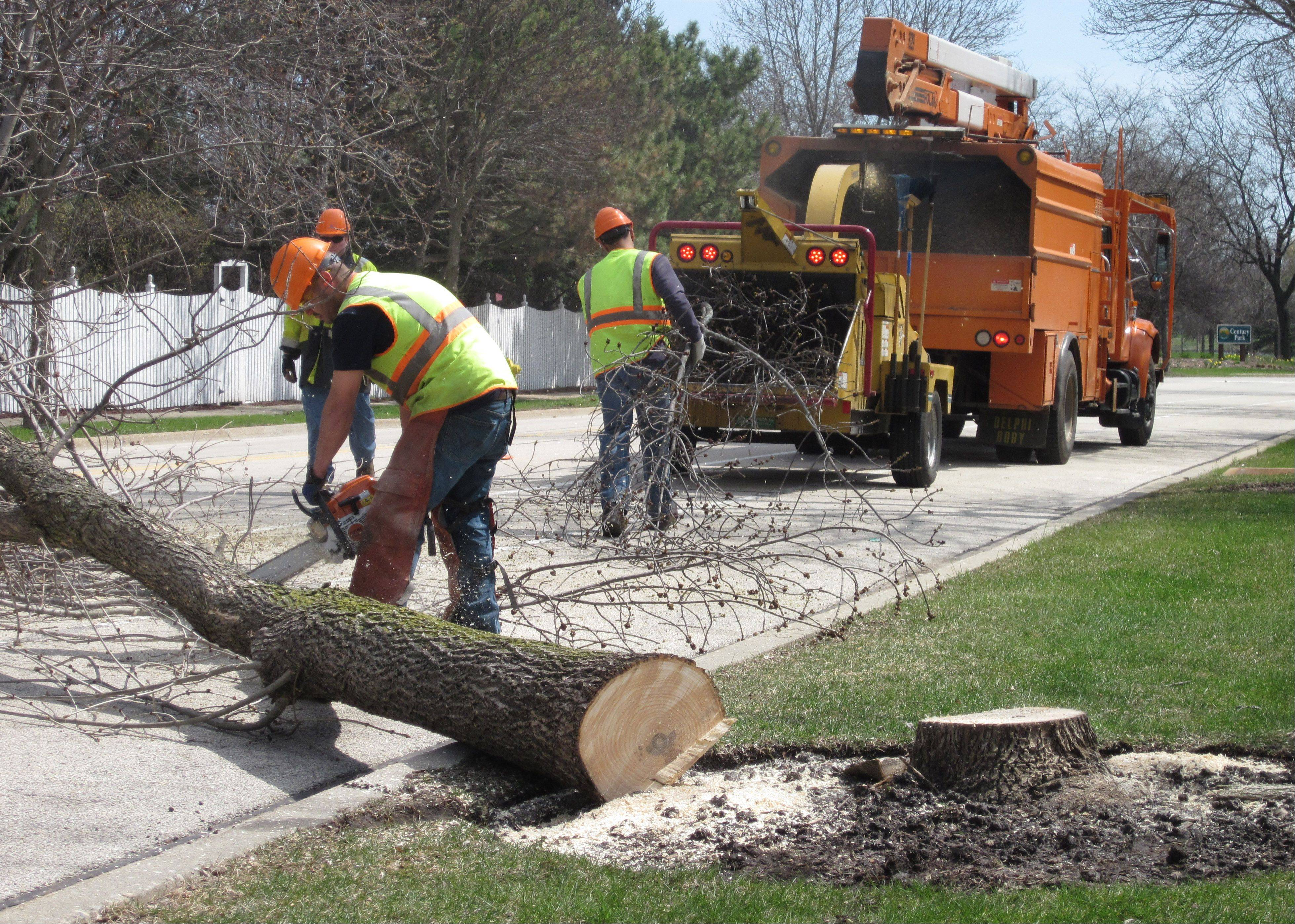 An ash trees comes down in Vernon Hills.
