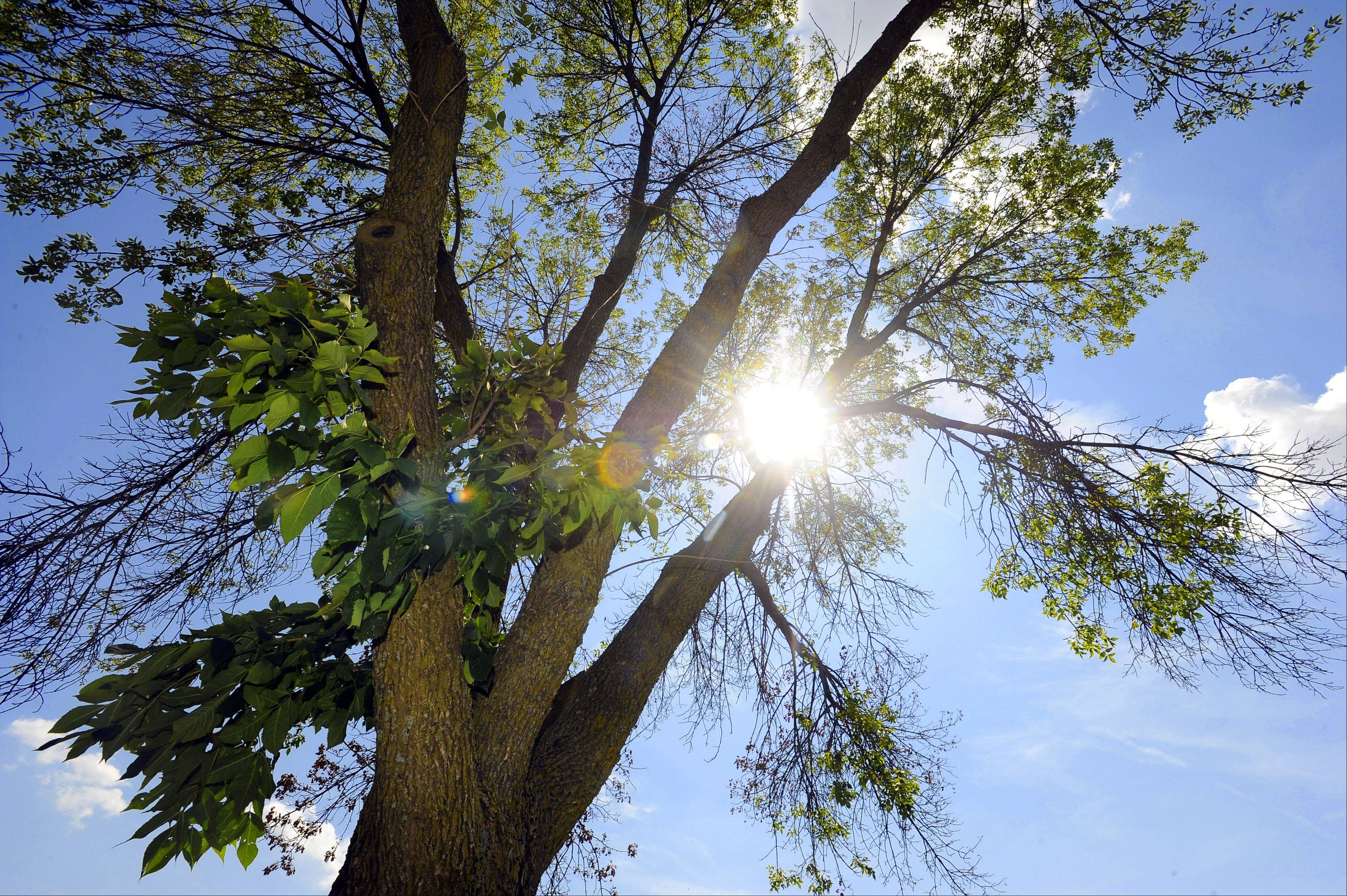 Sunlight pours through the leaves and branches of this ash tree in Schaumburg, minutes before it was chopped up.