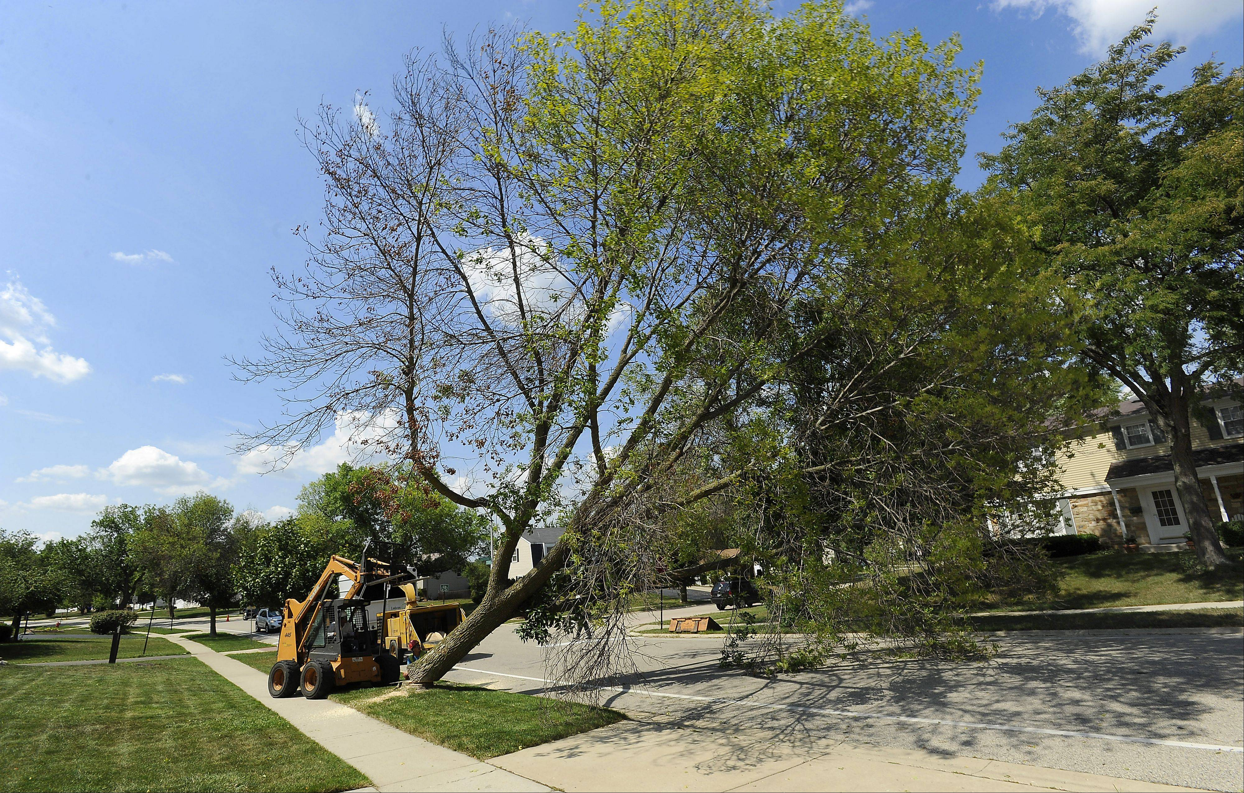 Workers of LandScapes Concepts of Grayslake push over a ash tree located on Colwyn Drive in Schaumburg. More than 1,500 trees are slated for the chopping block.