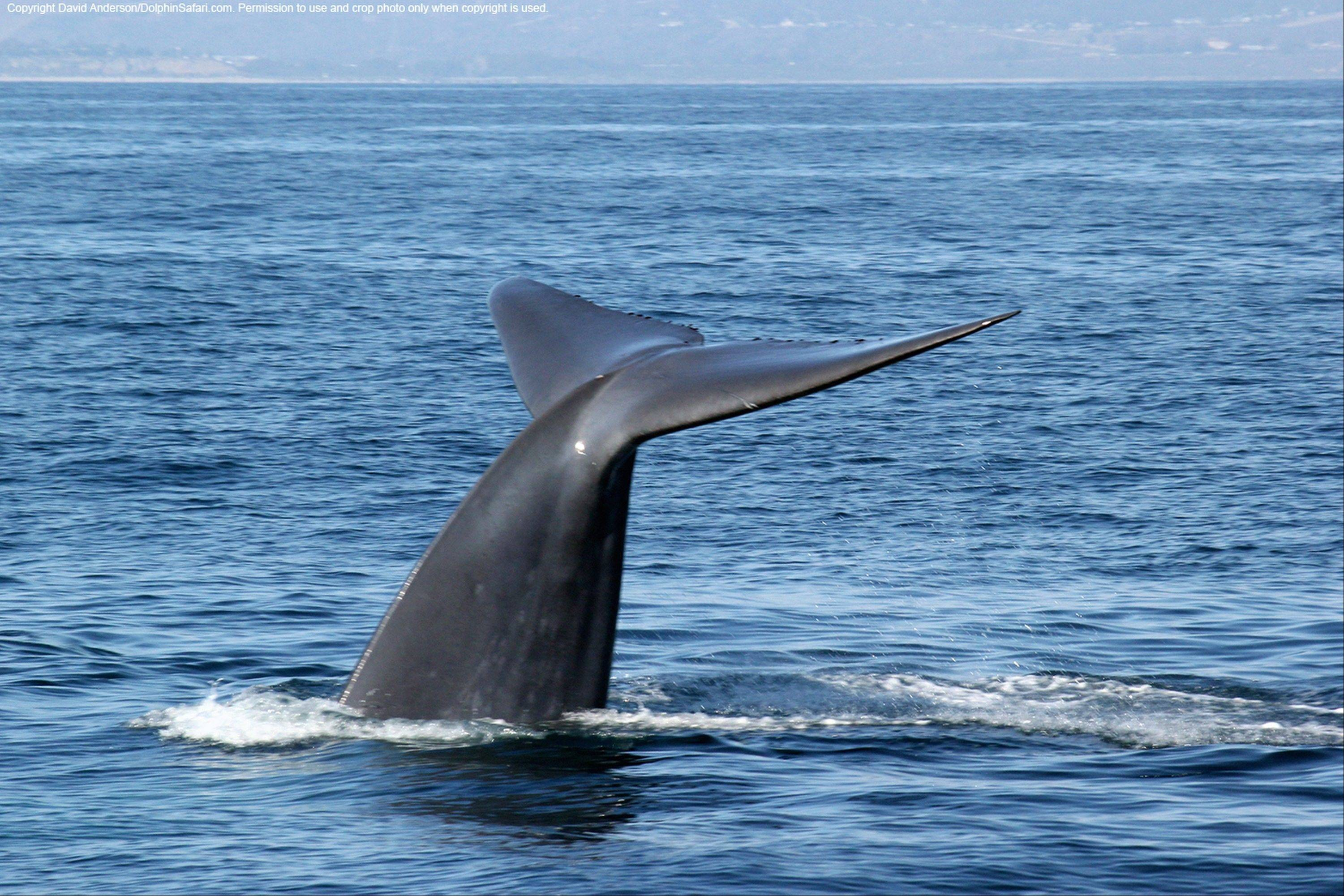 Endangered blue whales, the world's largest animals, are being seen in droves off the northern California coast, lured by an abundance of their favorite food — shrimplike creatures known as krill. Whale-watching tour operators are reporting a bumper harvest of blue whales, orcas, humpbacks and binocular-toting tourists eager to witness the coastal feeding frenzy.