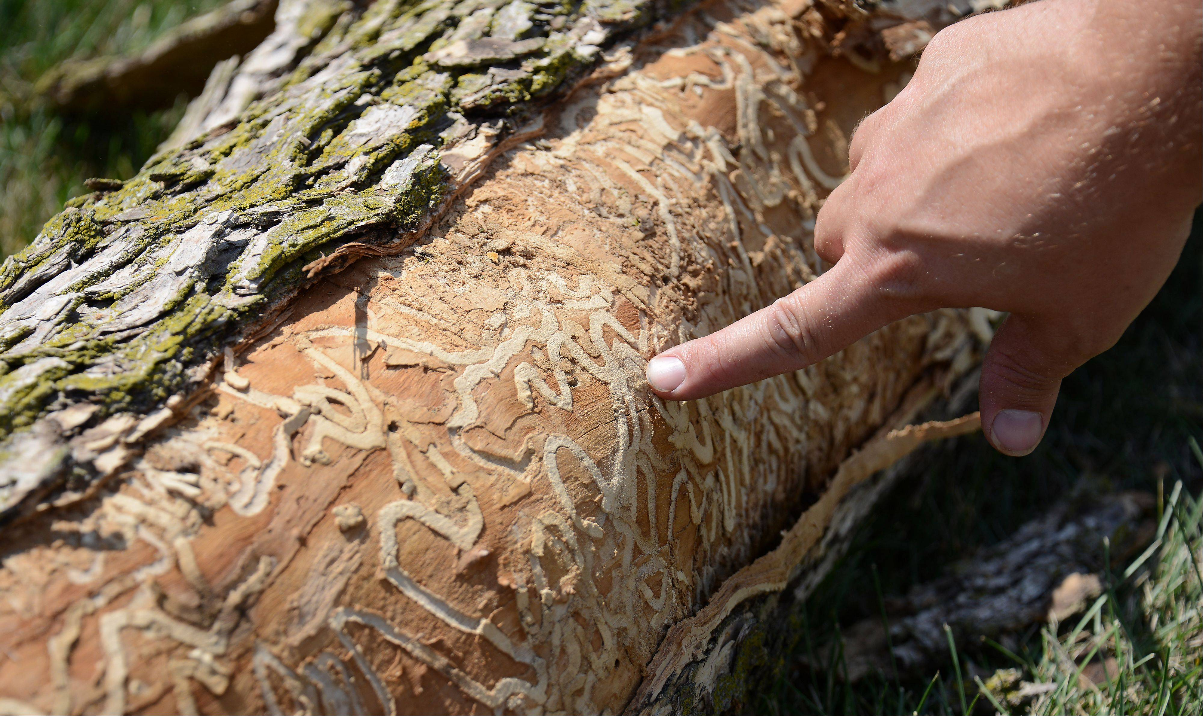 Travis Glay, manager of LandScapes Concepts of Grayslake, points out the destructive grid pattern of the emerald ash borer beetle after they cut down one of the 1,500 hundred trees slated for the chopping block in Schaumburg.