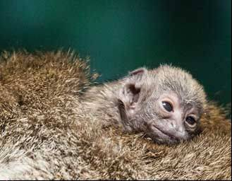 Zoo officials say a Bolivian gray titi (TEE'-tee) monkey was born Saturday to a 21-year-old mother and 15-year-old father.