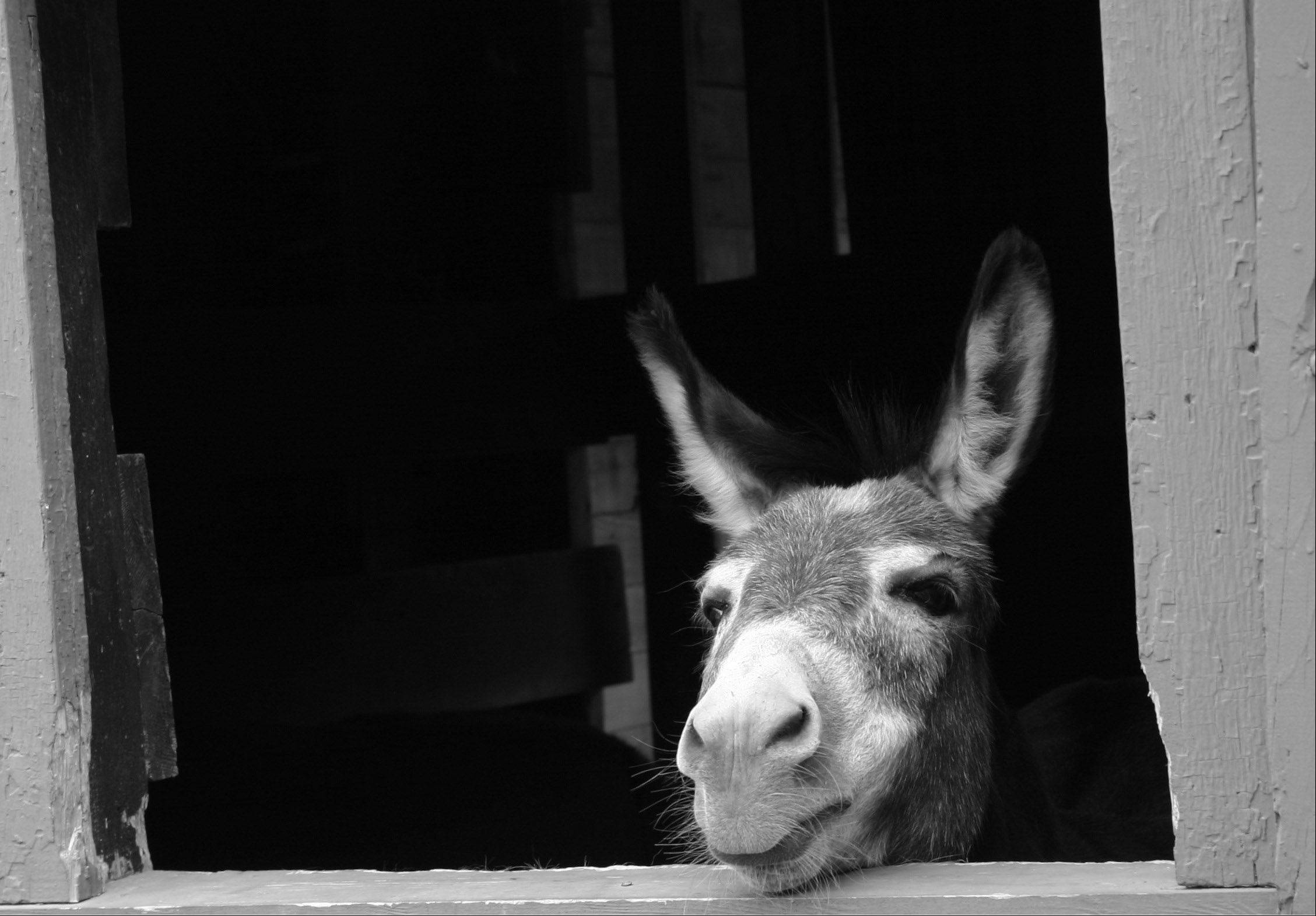 A donkey peers out from its stall at a family reunion in Gurnee.