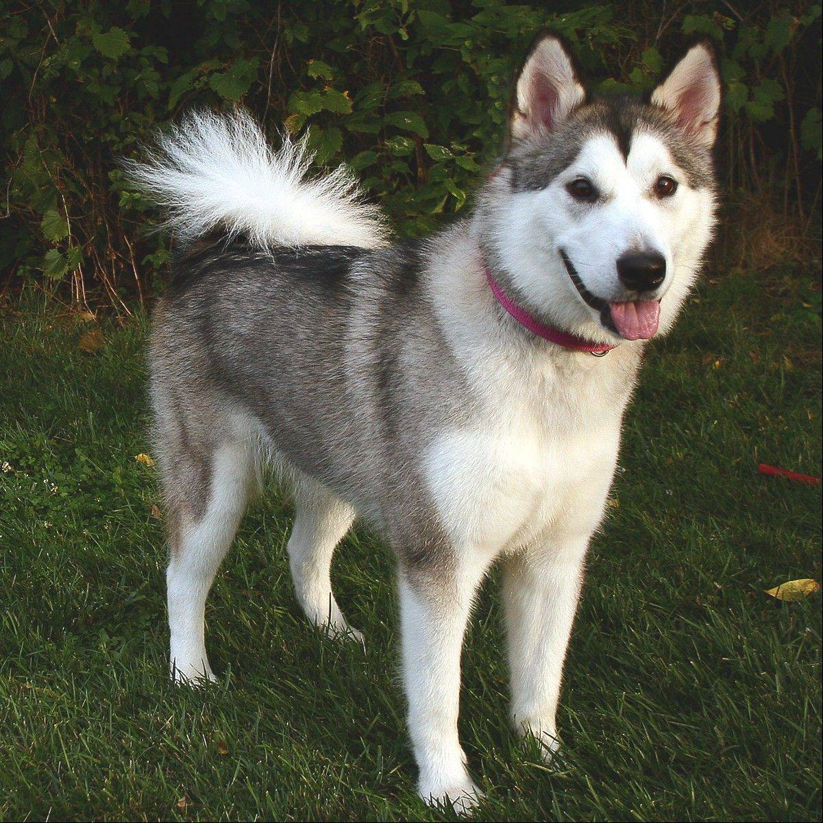 Mya is a female Alaskan malamute who is about 1� years old and weighs around 73 pounds.