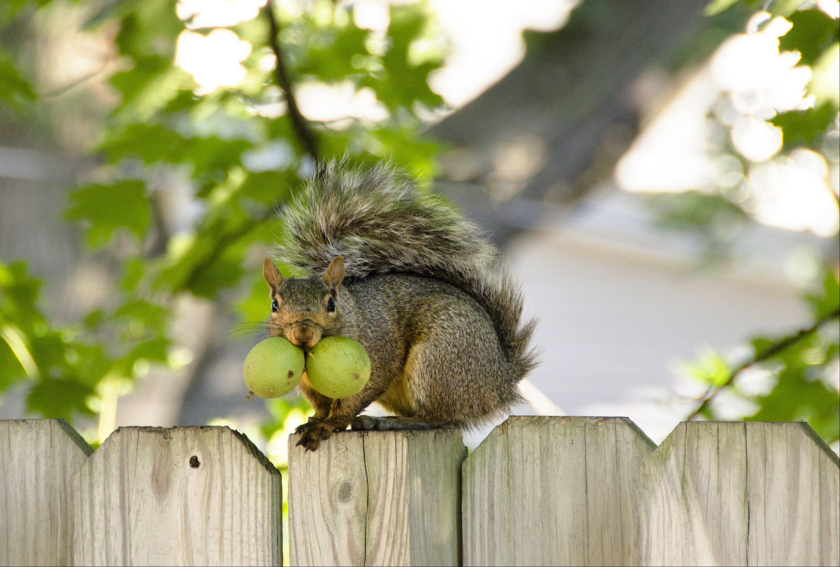 Mike Gross of Lombard says cooler weather has this ambitious squirrel stashing walnuts around his backyard.