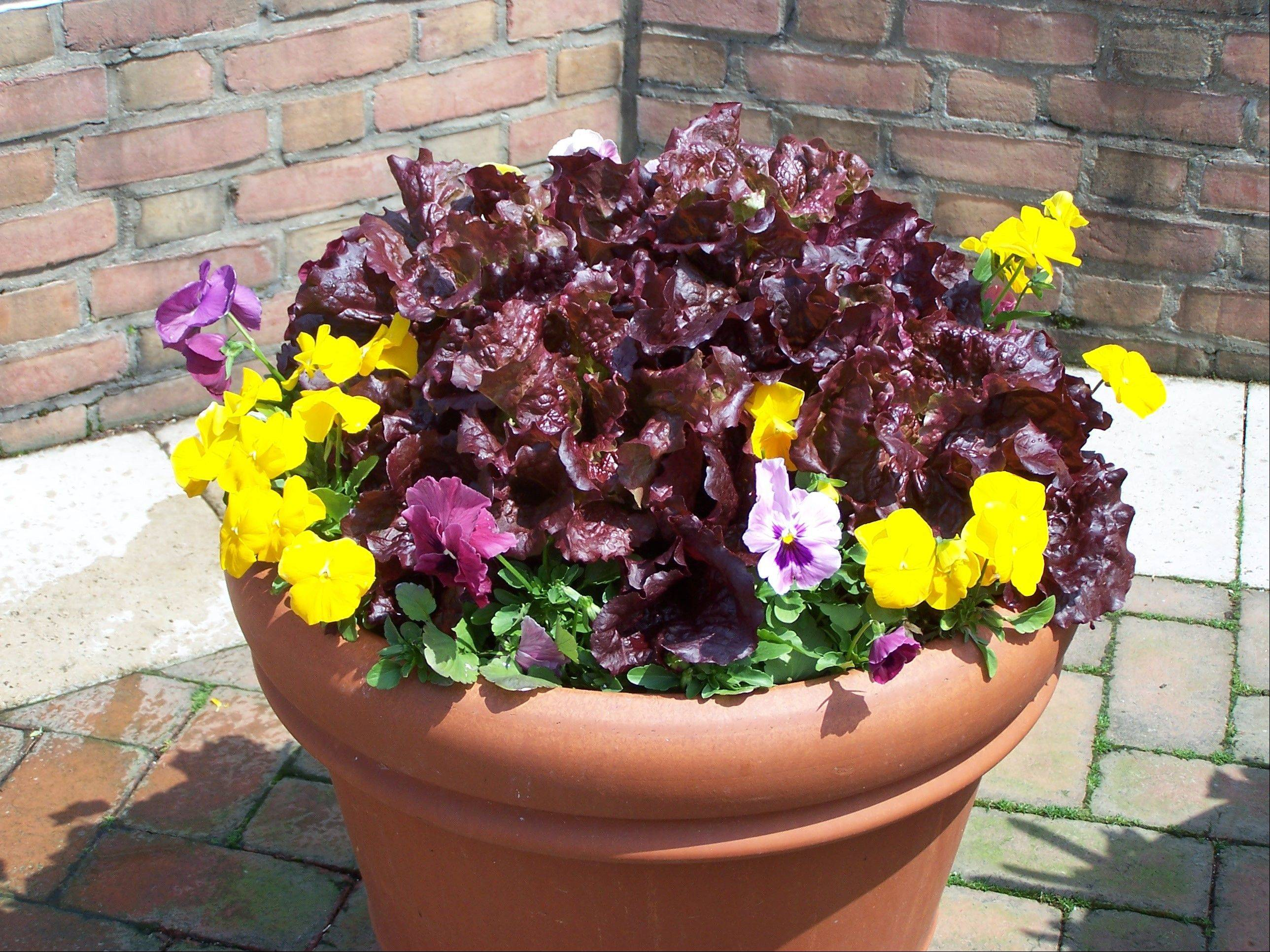 Pansies and ornamental lettuce are a good start to a container. A few cut branches of yellow twig dogwood in the center would add height