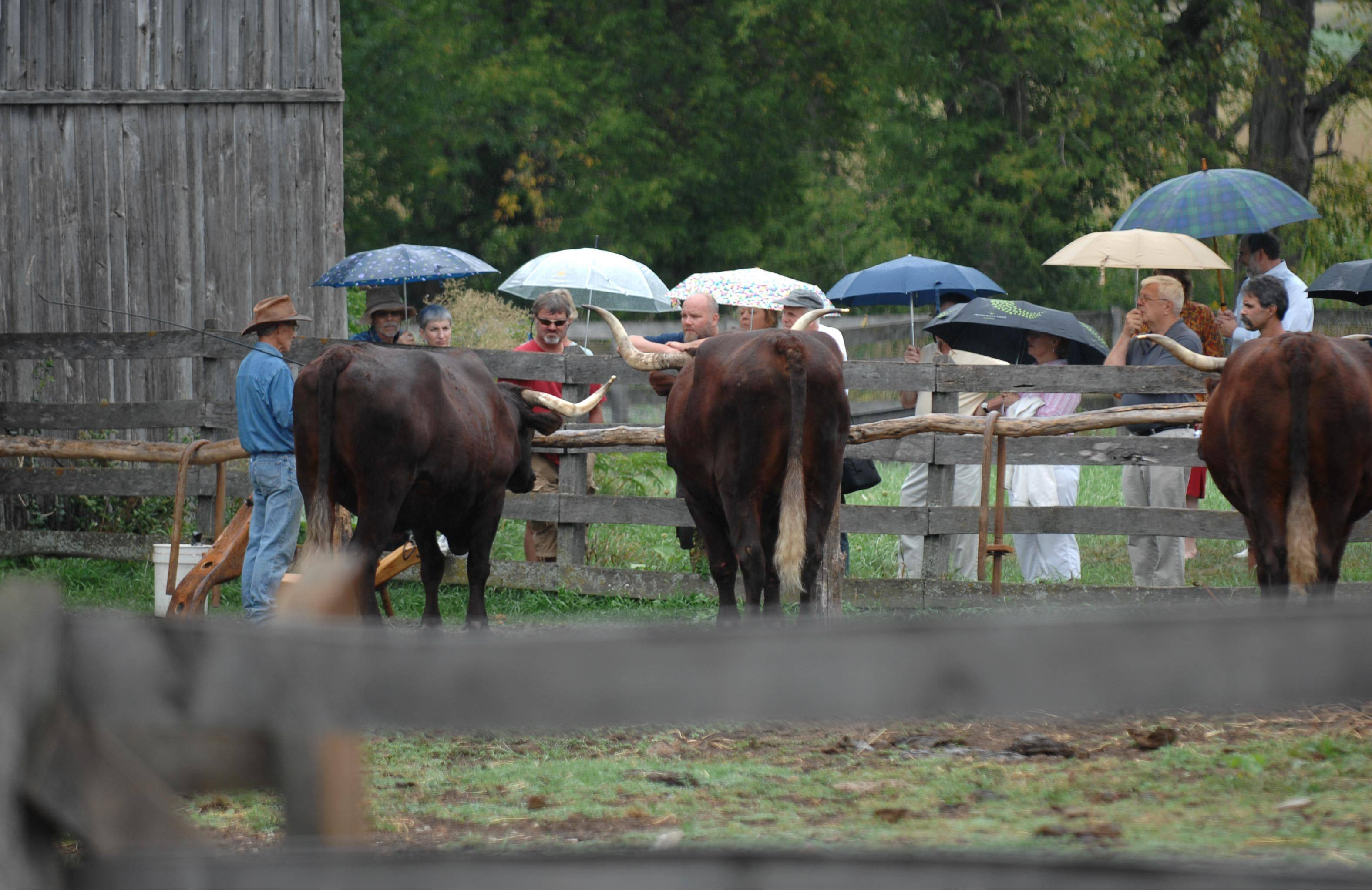 Chuck Bauer shows visitors an oxen demonstration Sunday at the 23rd Annual Heirloom Garden Show at Garfield Farm Museum west of Geneva. Bauer is a trustee of the historical farm.