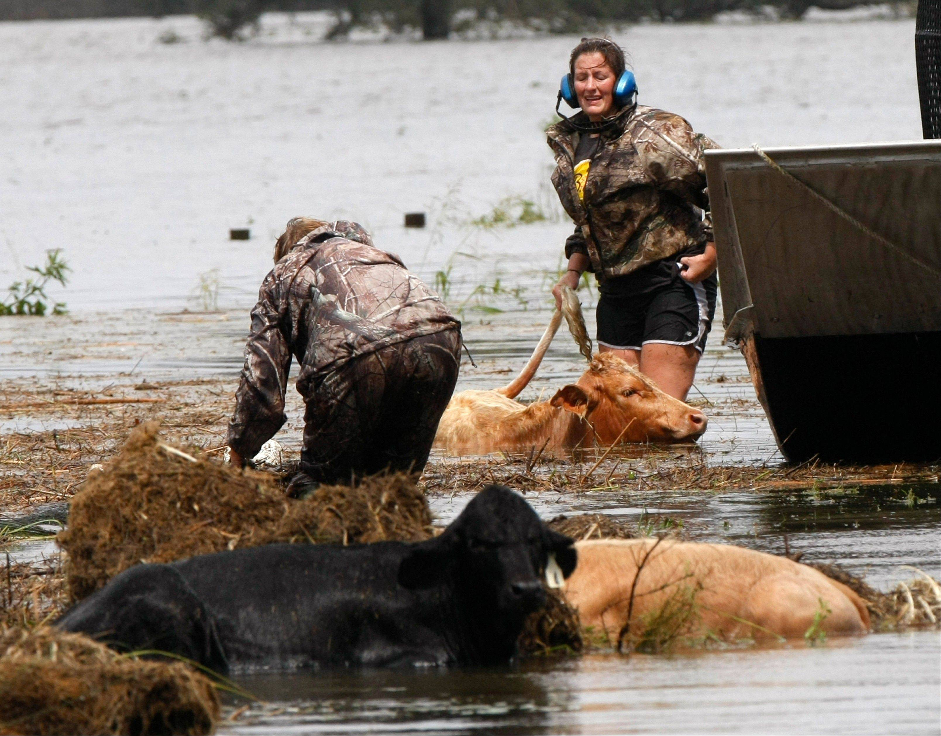 People rescue cows from floodwaters after Isaac passed through the region, in Plaquemines Parish, La., Thursday, Aug. 30, 2012.