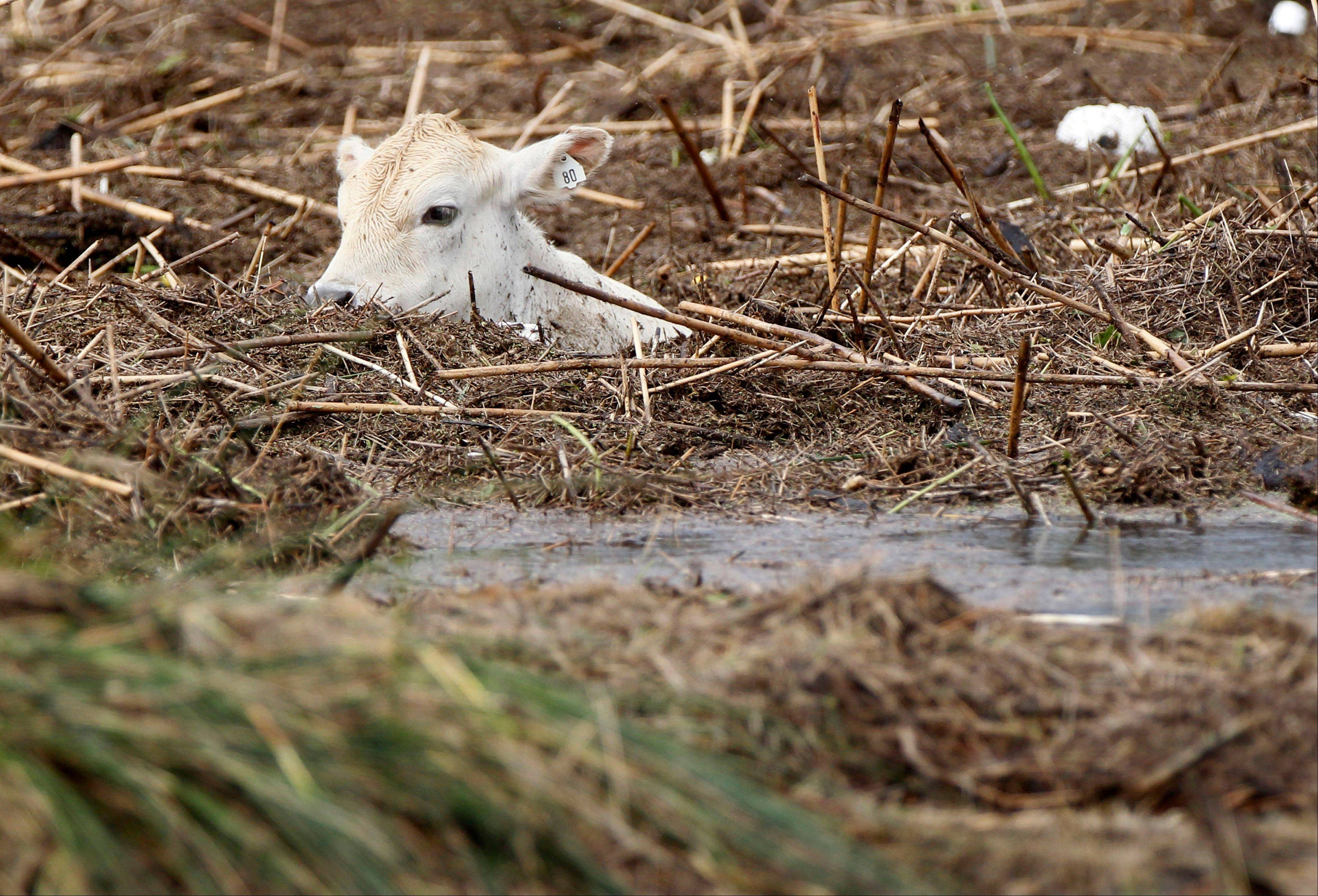 A submerged cow is stranded amid debris in floodwaters after Isaac passed through the region, in Plaquemines Parish, La., Thursday, Aug. 30, 2012.