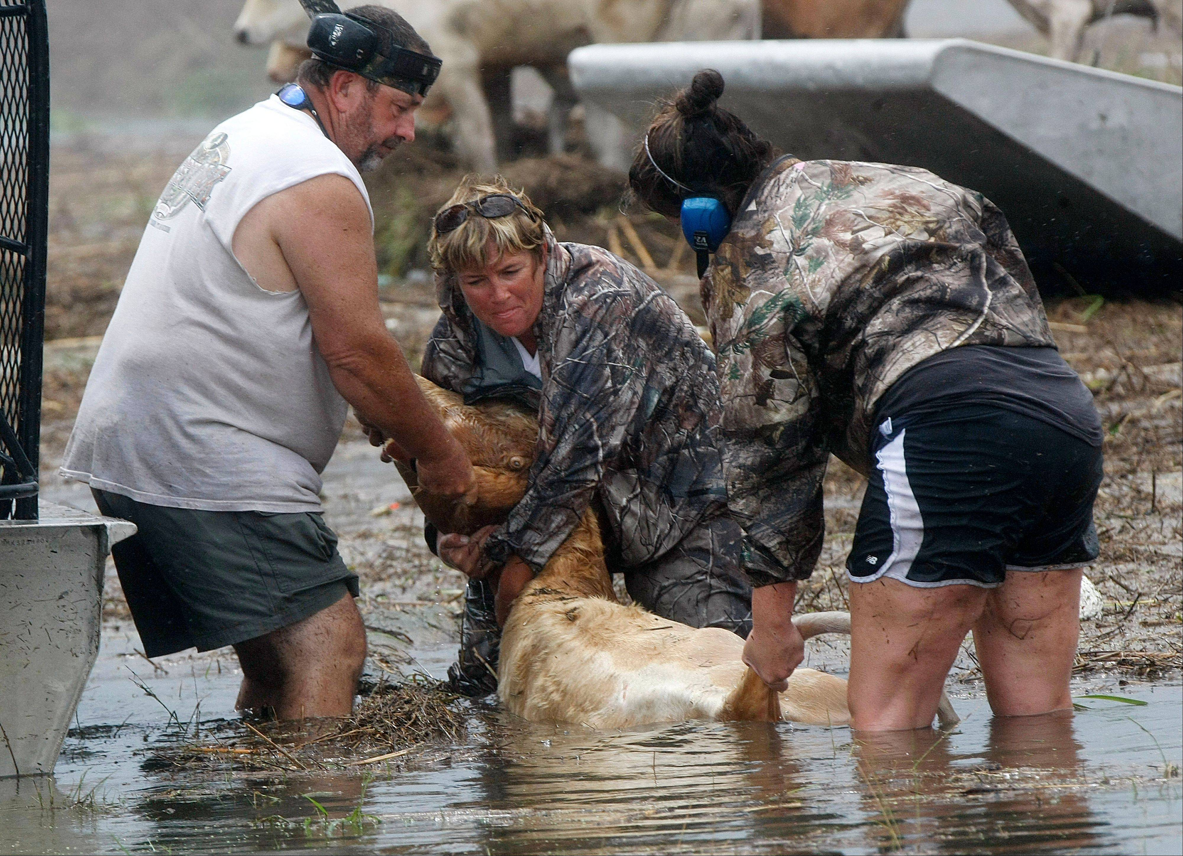 People try to rescue cattle from floodwaters after Isaac passed through the region, in Plaquemines Parish, La., Thursday, Aug. 30, 2012.