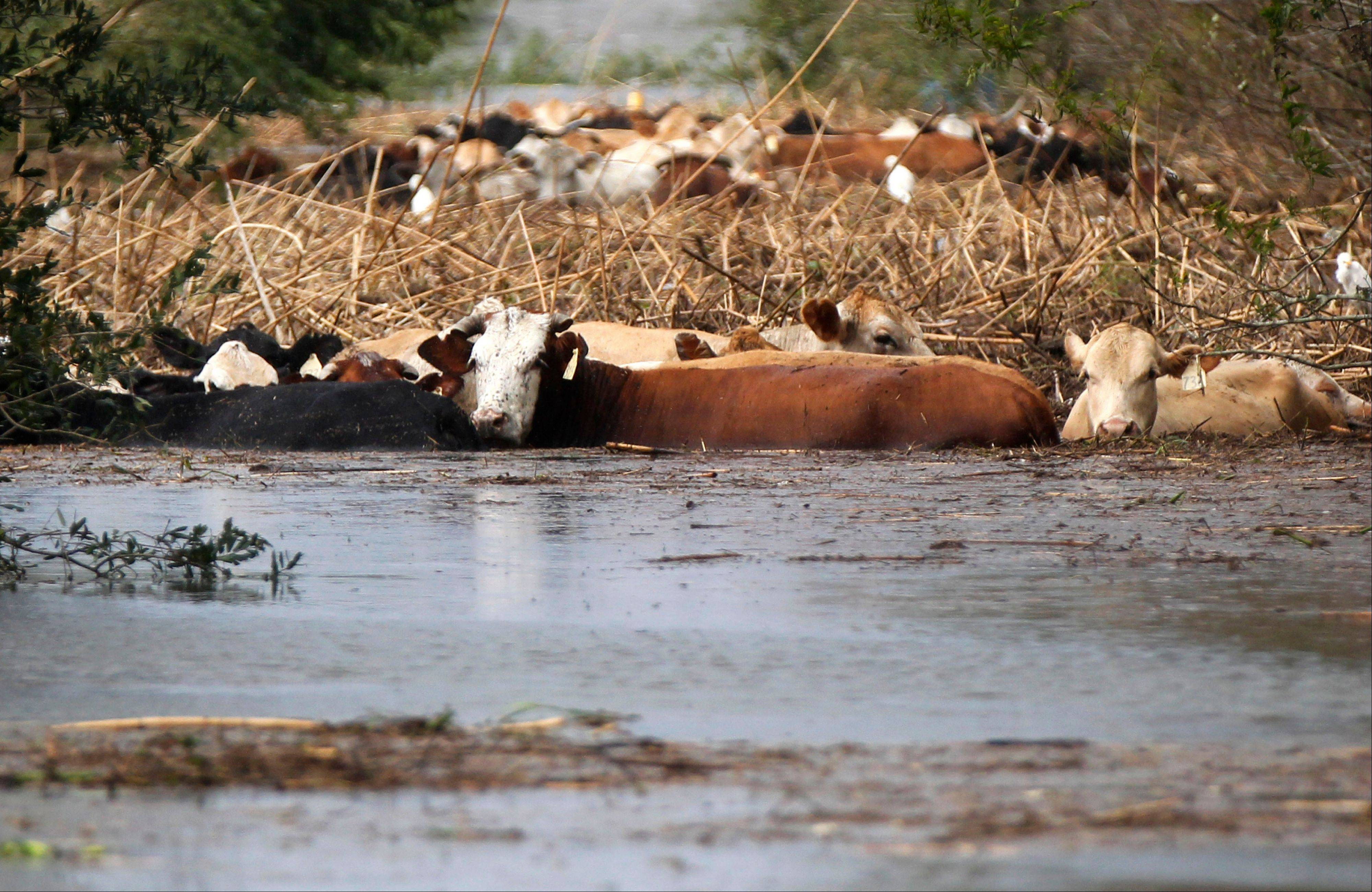 Cows are stranded in floodwater after Isaac came through the region, in Plaquemines Parish, La., Thursday, Aug. 30, 2012.