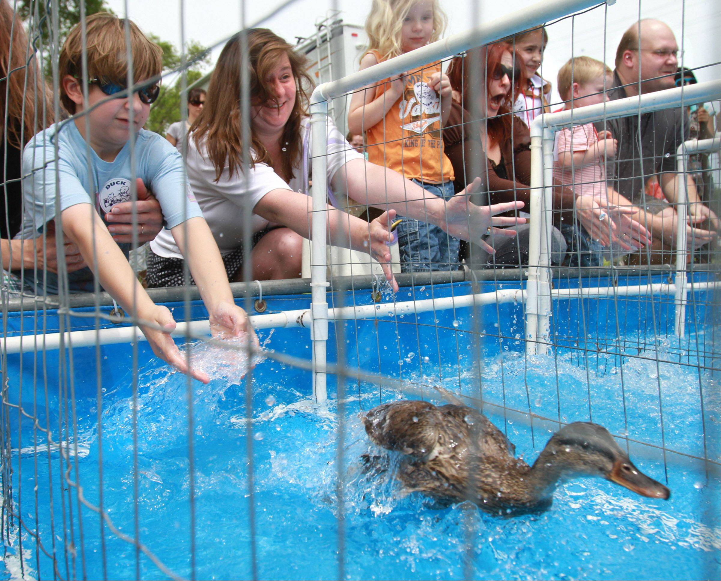 New this year at Last Fling in Naperville are the $START_URL$Great American Duck Races of New Mexico;http://www.racingducks.com/$STOP_URL$. There will be several shows each day dedicated to mallard ducks that race down a water pond.
