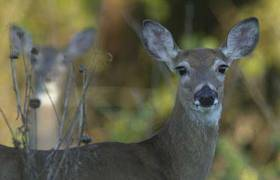 Kane forest panel OKs deer culling by hunting
