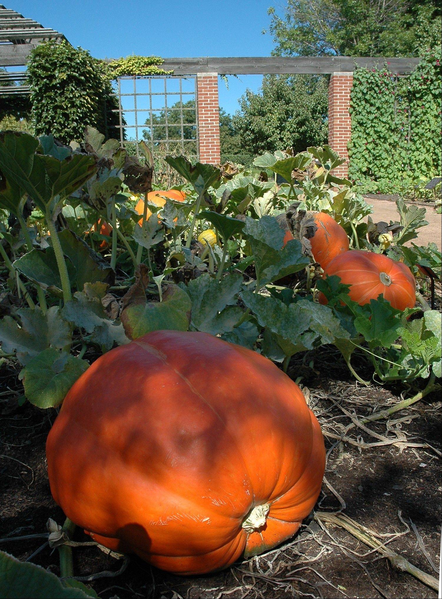 Pumpkins need to be left on the vine as long as possible to reach their maximum size.