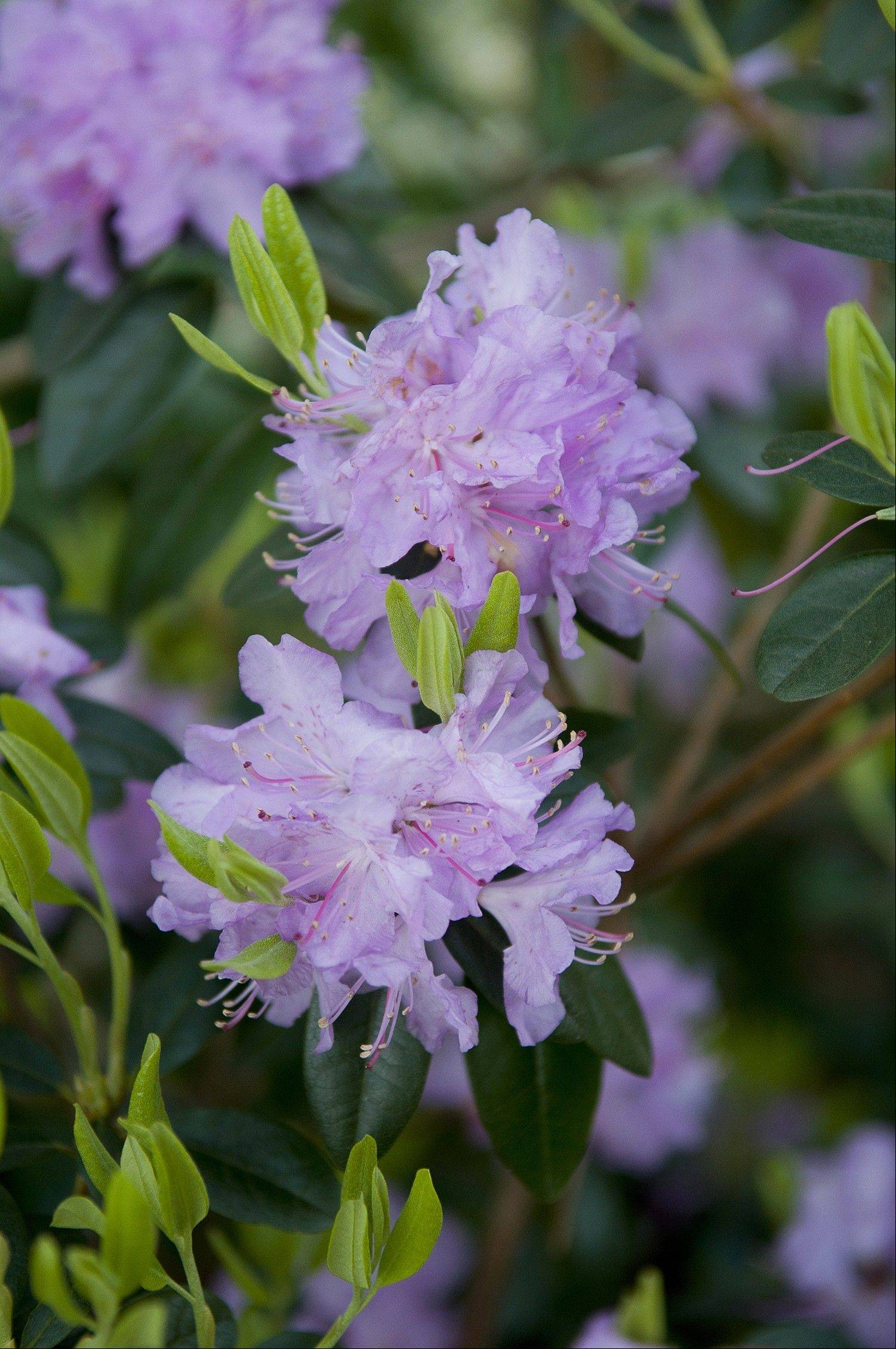 Fall is a good time to apply granular sulfur to the soil around plants such as rhododendrons, above, and azaleas that prefer acidic soil conditions.