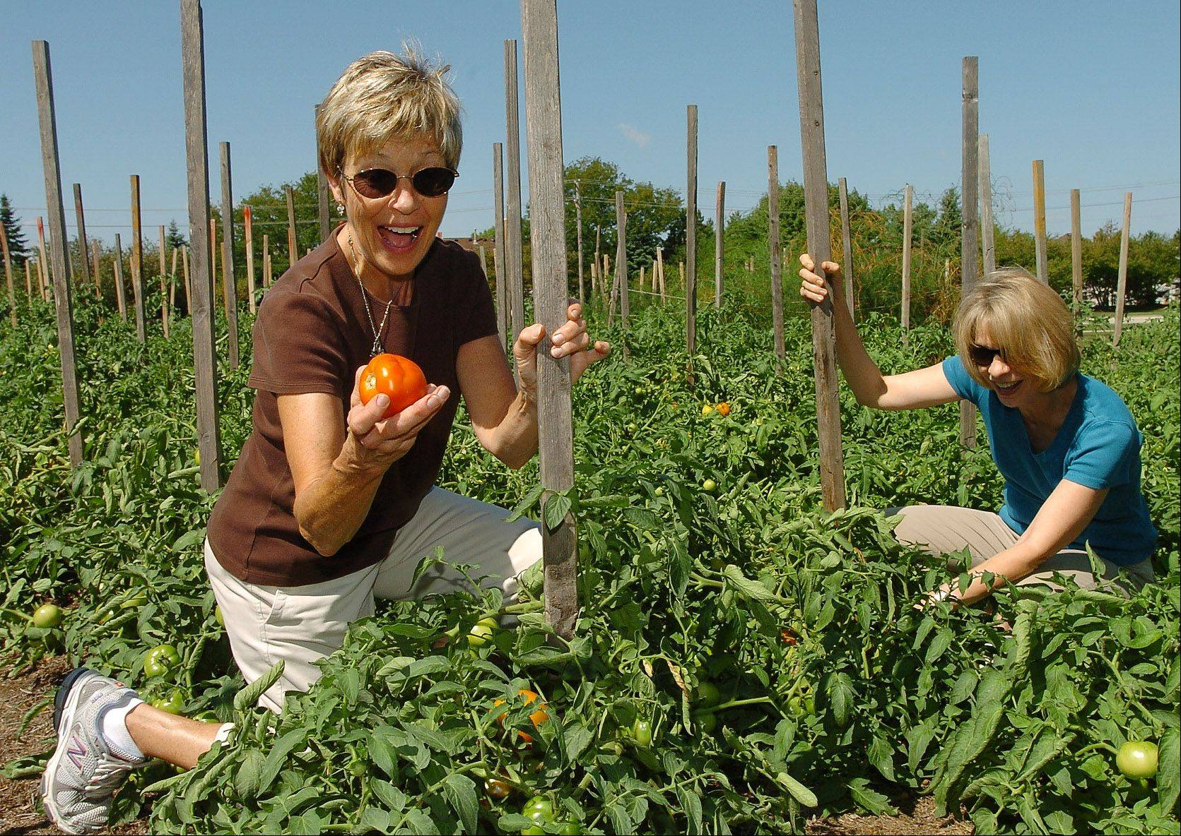 Nancy Erickson, left, finds a beauty, while picking tomatoes with Tina Lawrenz in the garden behind Covenant Church in Schaumburg.
