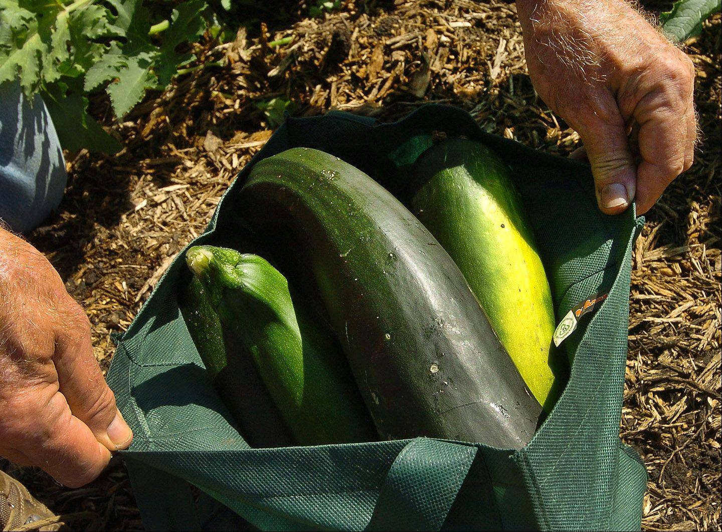 The garden behind Covenant Church in Schaumburg is planted mostly with tomatoes, but also includes some zucchini.