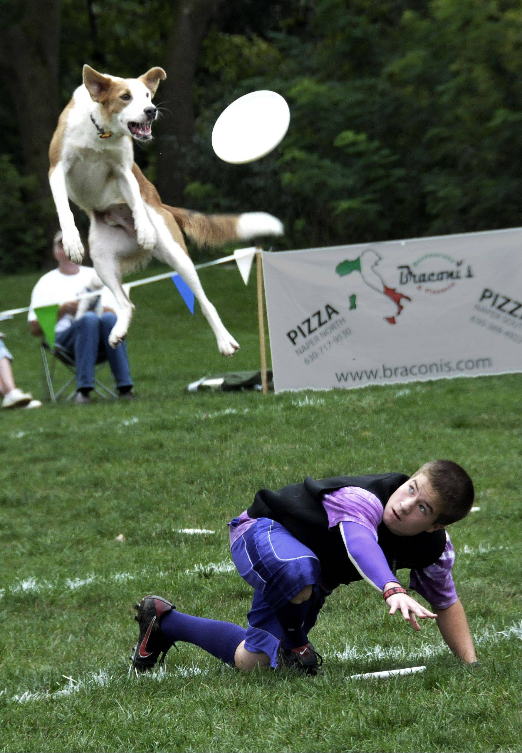 Jordan Bybee, of Louisville, Kentucky, goes through his routine with his Border Collie, Rambler, during Sunday's dog disc-catching competition, the Ashley Whippet Invitational, in Naperville. Bybee said works out for at least a half-hour every day with Rambler. The competition was part of Naperville's Last Fling festival, which continues Monday.