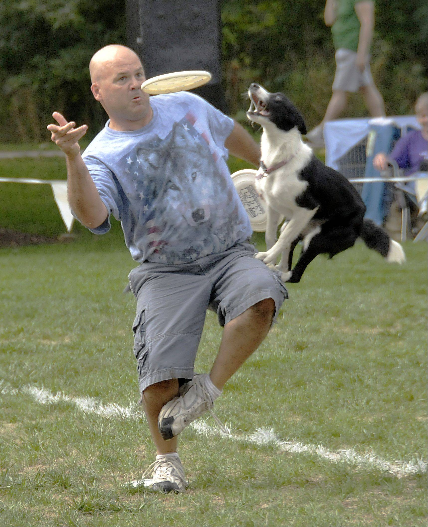 Riley, a Border Collie, jumps up to grab a flying disc tossed by his owner, Mark Faragoi, of Plainfield during Sunday's Ashley Whippet Invitational in Naperville, which was one of the events during Naperville's Last Fling festival.