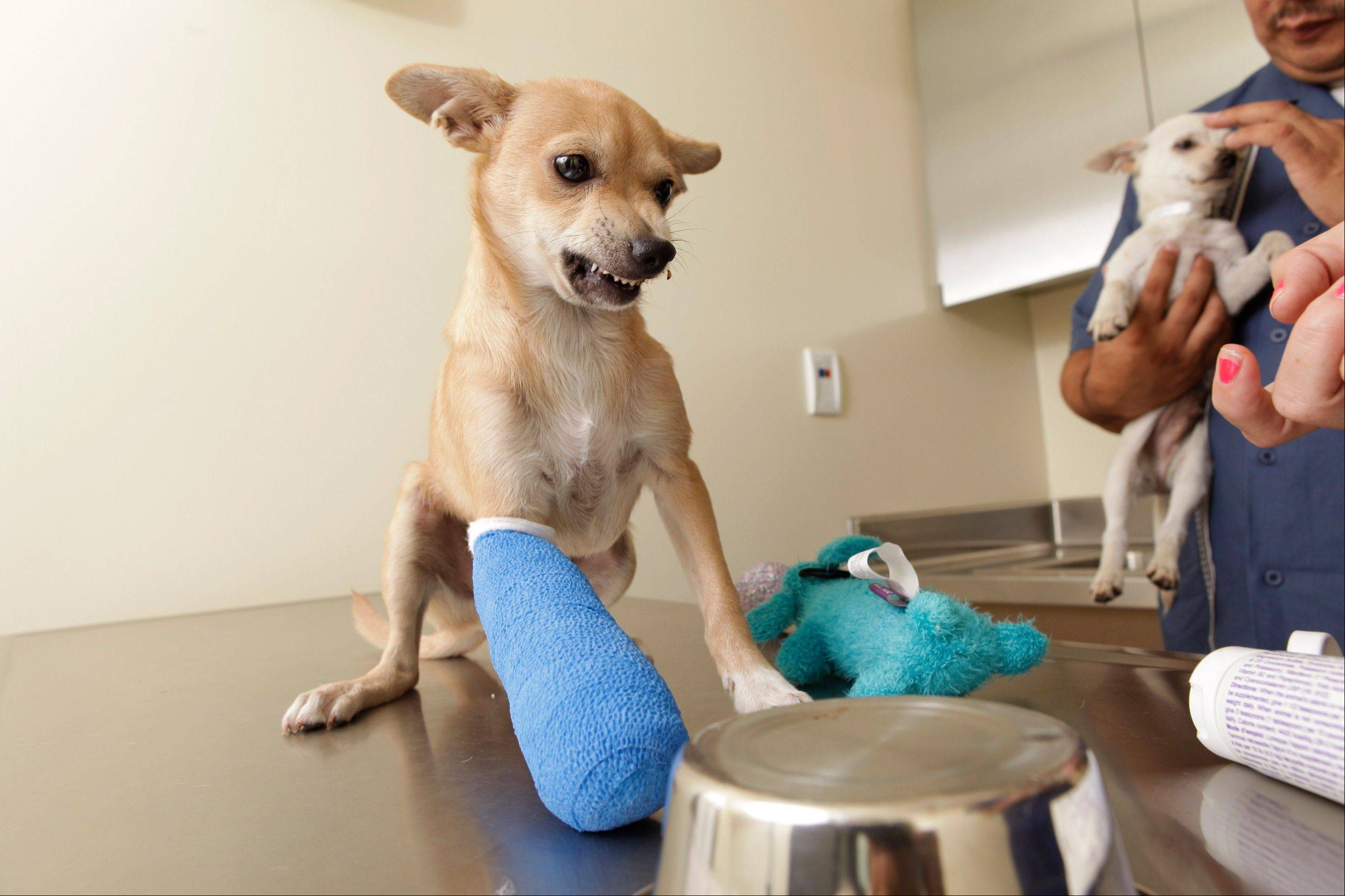 A Chihuahua shows frustration after the staff at the Los Angeles County Animal Care Control Carson Shelter placed a treat under a bowl to determine paw preference in Gardena, Calif. Results depend on which paw the dog uses to move the bowl.