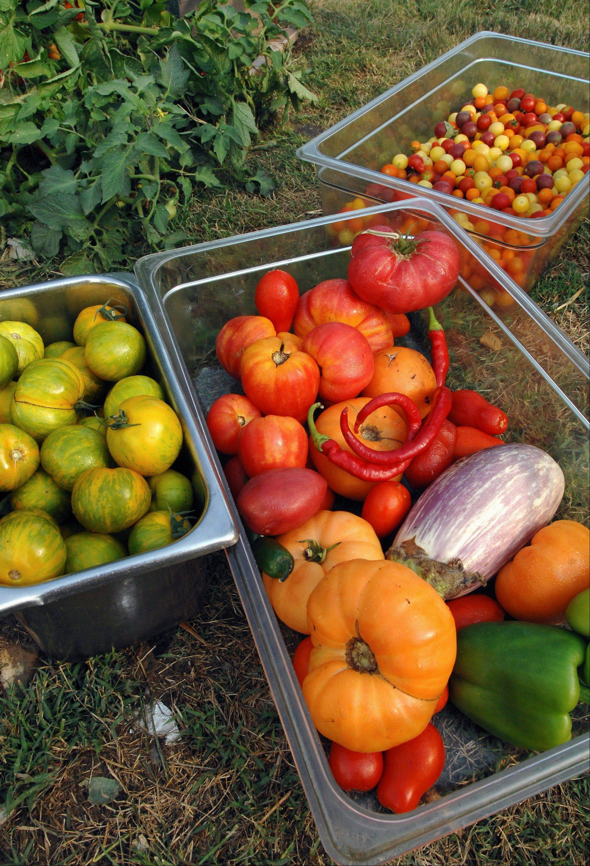A sampling of organic vegetables, including the green heirloom tomatoes at left, are seen at the garden created by Michael Hobin and Ryan Childers behind Childers Eatery in Peoria. The pair did a lot of research before purchasing heirloom seeds online.