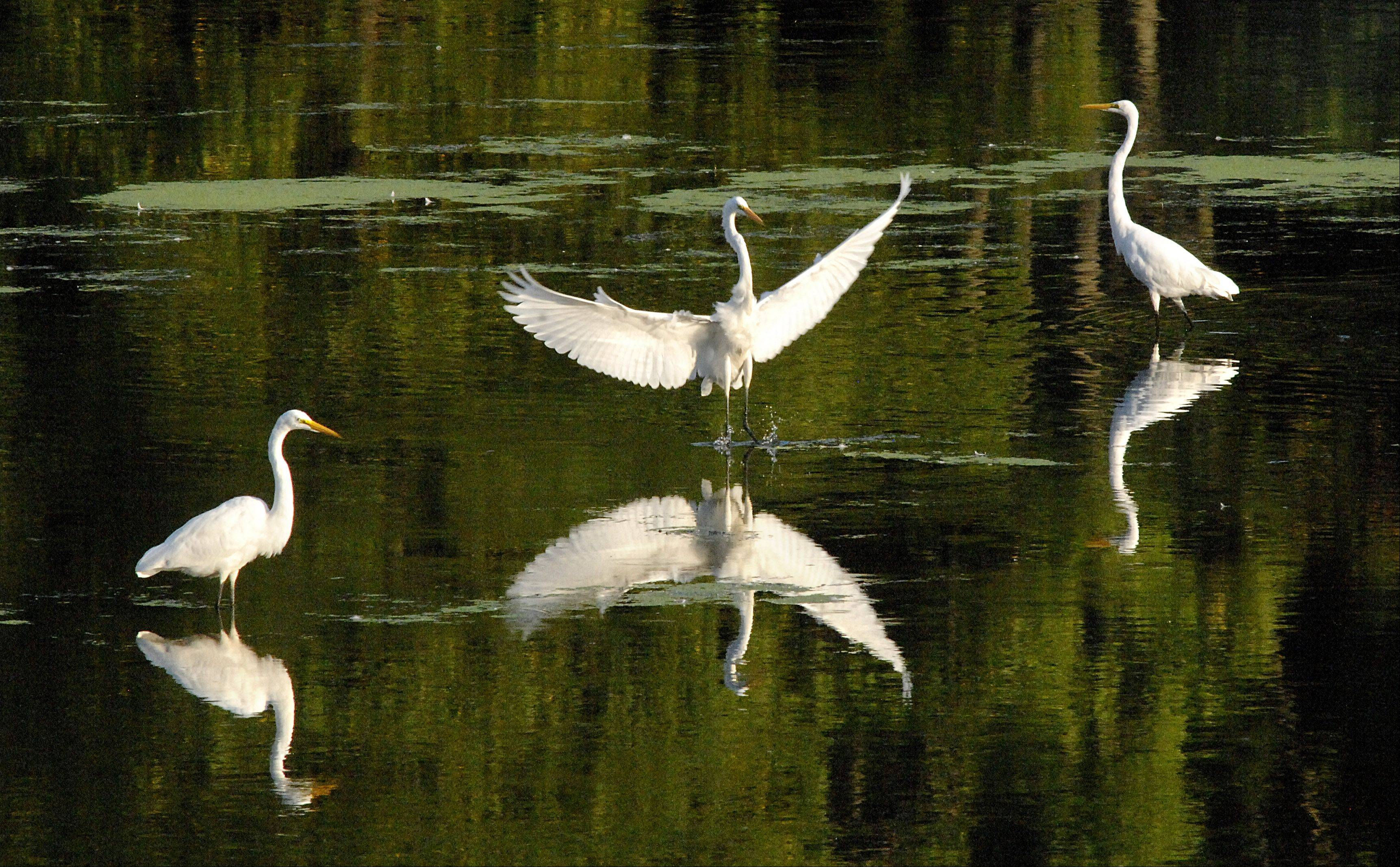 Laura Stoecker/lstoecker@dailyherald.com An egret flies in to form a cluster of the water-wading birds near Tekakwitha Woods in St. Charles at sunset. Low water levels have great egrets and great blue herons gathering in large groups to feed.