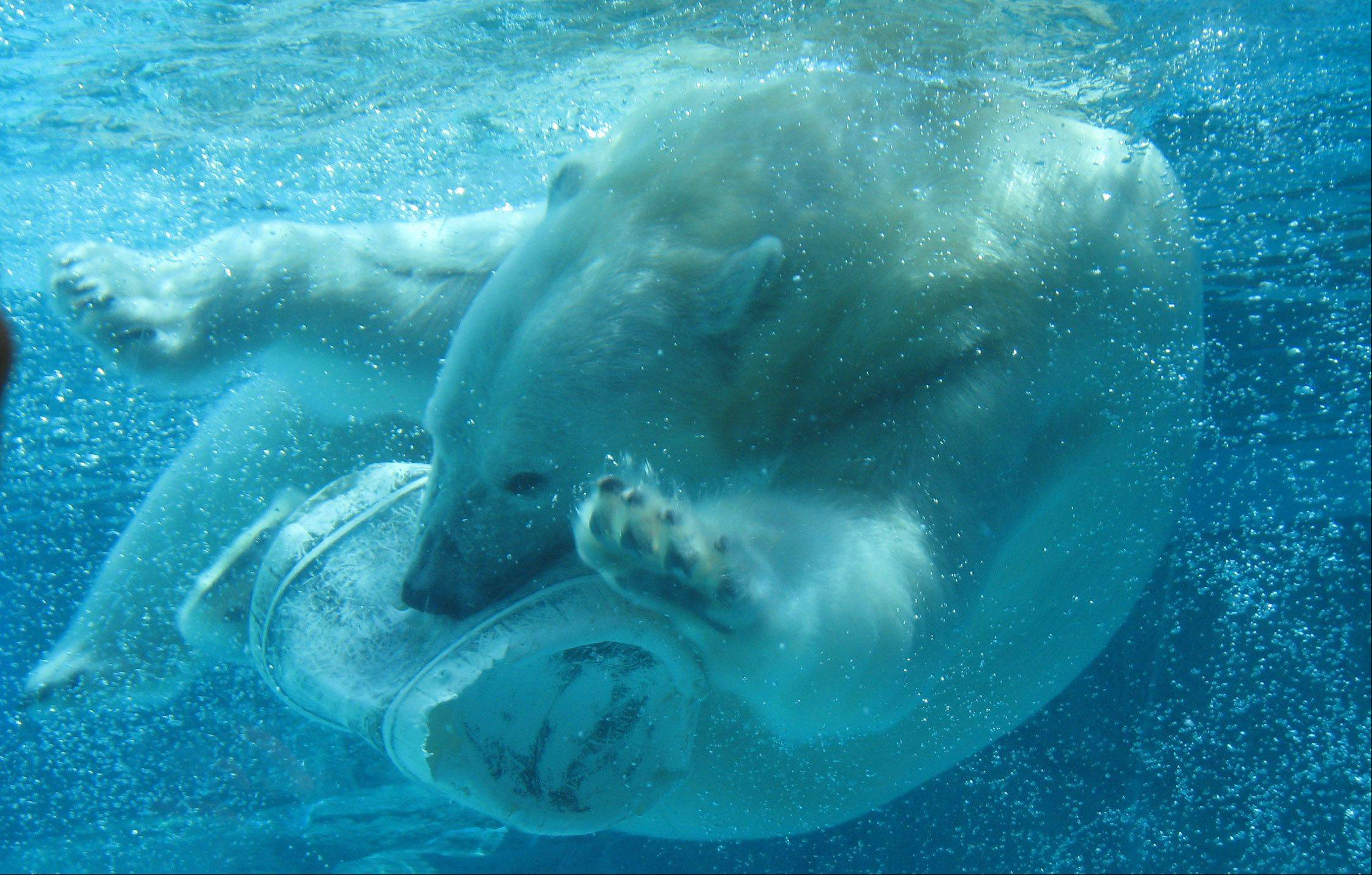 A polar bear plays with an empty bucket under the water on August 23rd at Lincoln Park Zoo in Chicago.