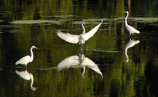 Egrets And Herons Fish In The Fox River