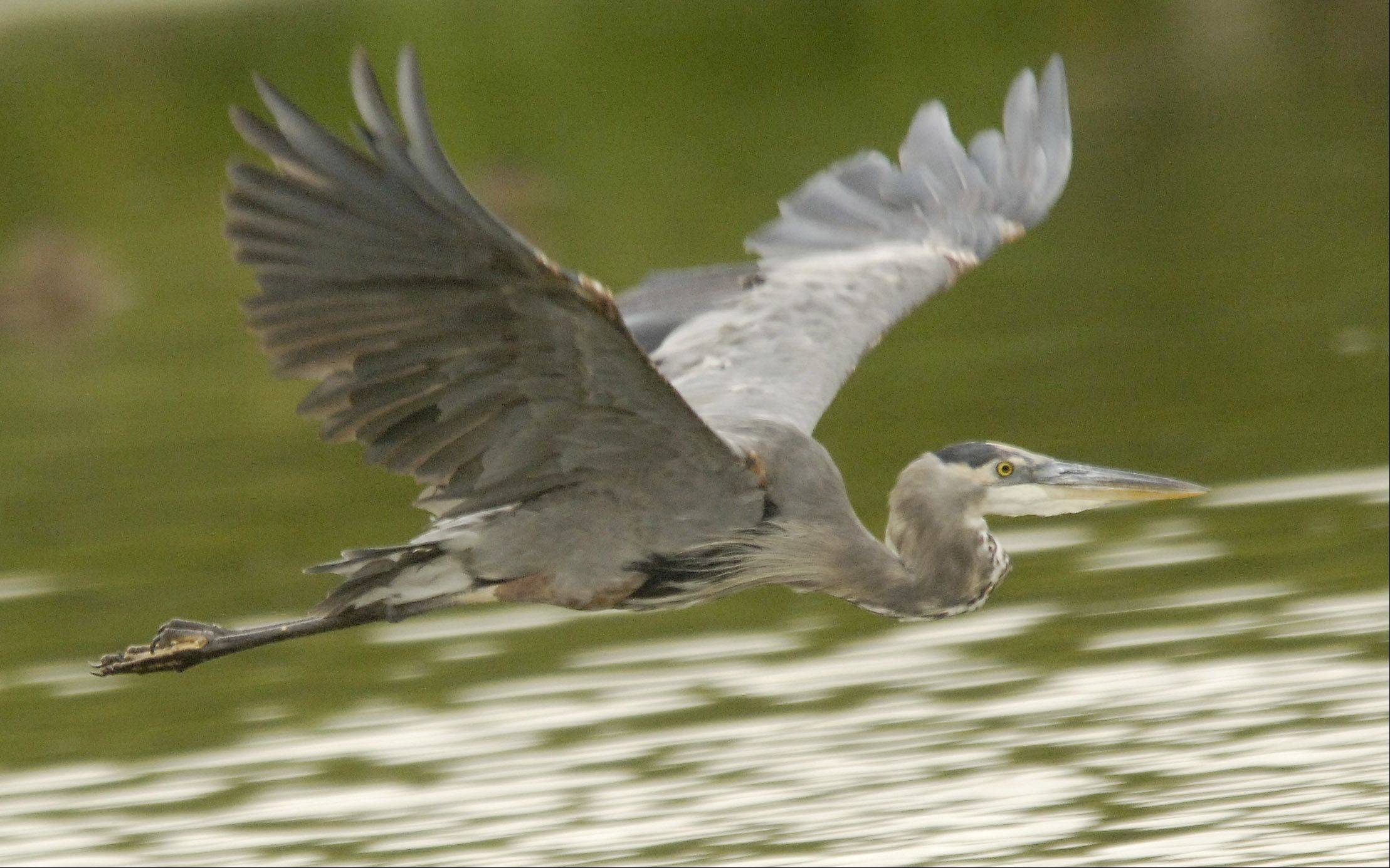 A great blue heron takes flight on the Fox River in St. Charles.