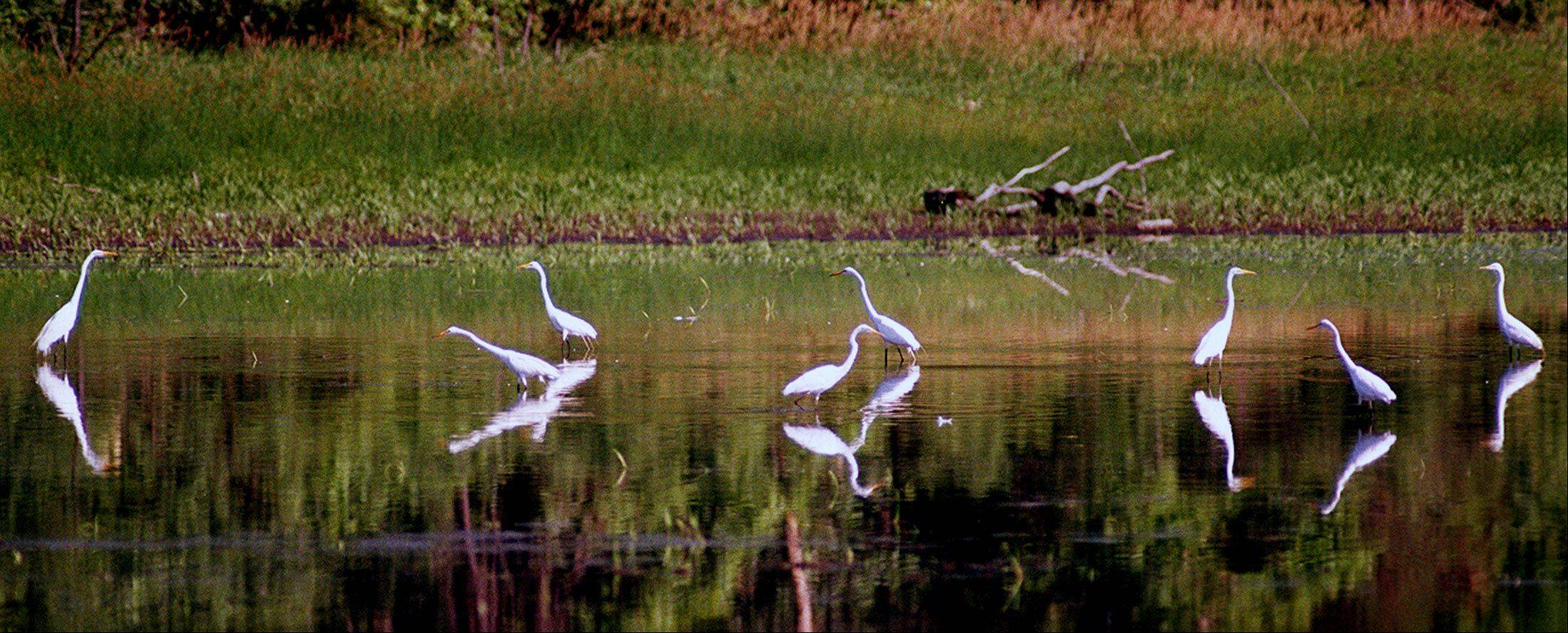 A group of great herons gathers at the wildlife refuge at Crabtree Nature Center in Barrington.