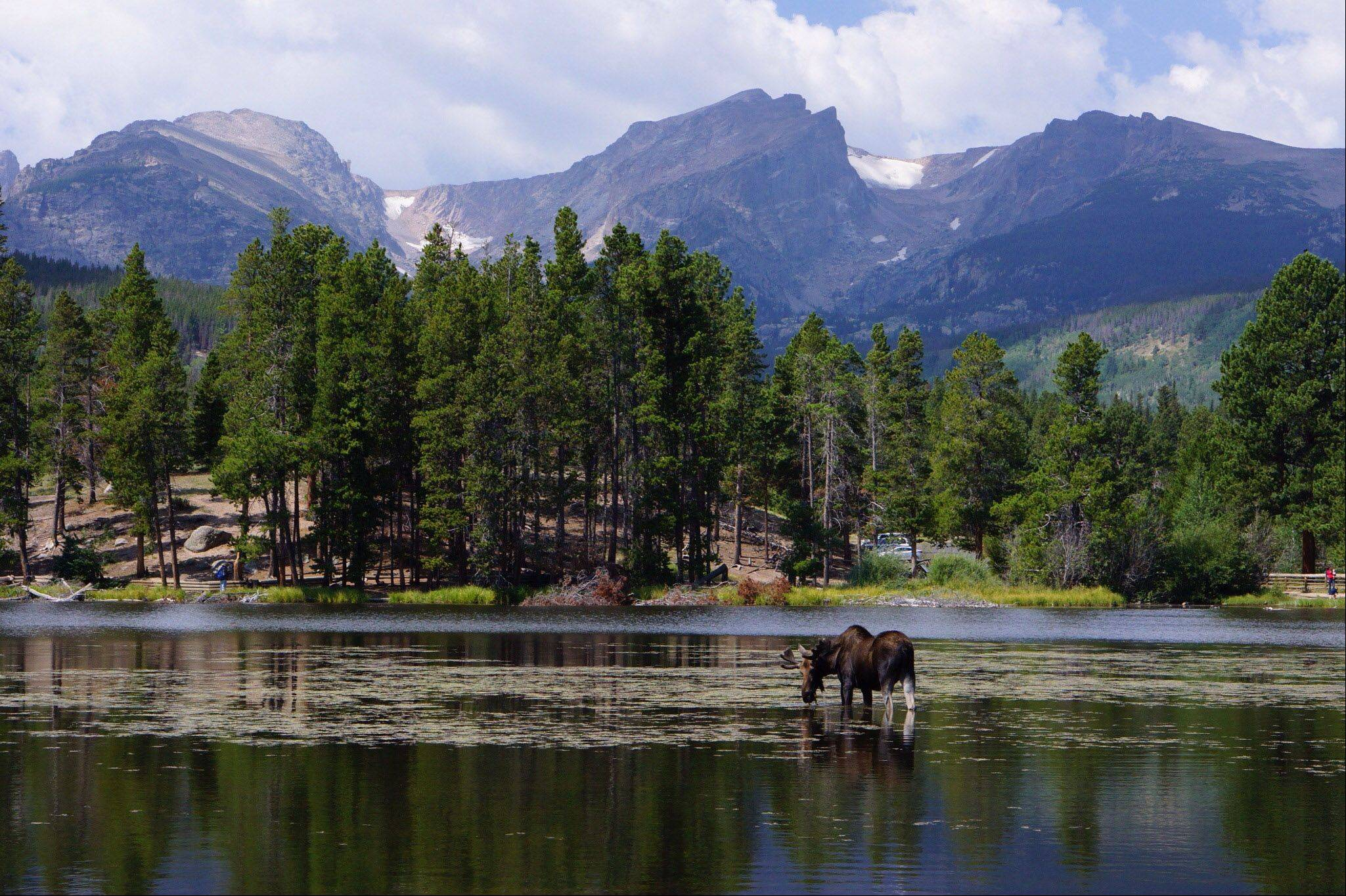 While hiking in Rocky Mountain National Park this summer, my son and I came upon this bull moose eating in Sprague Lake with the Rocky Mountains as a beautiful background!