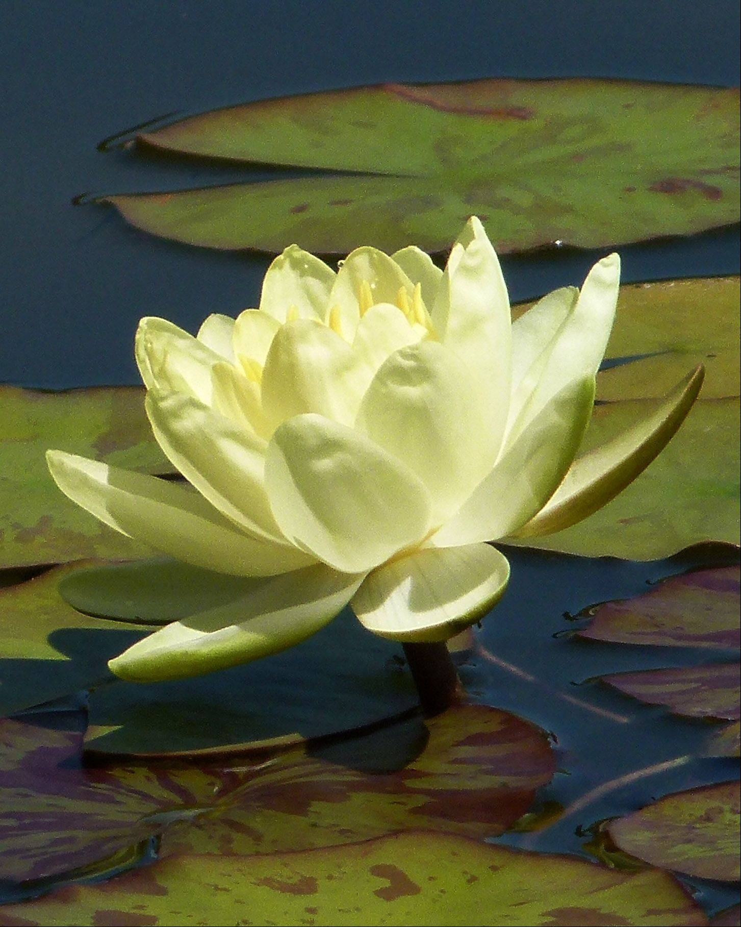 Here's a photo I took of a water lily.