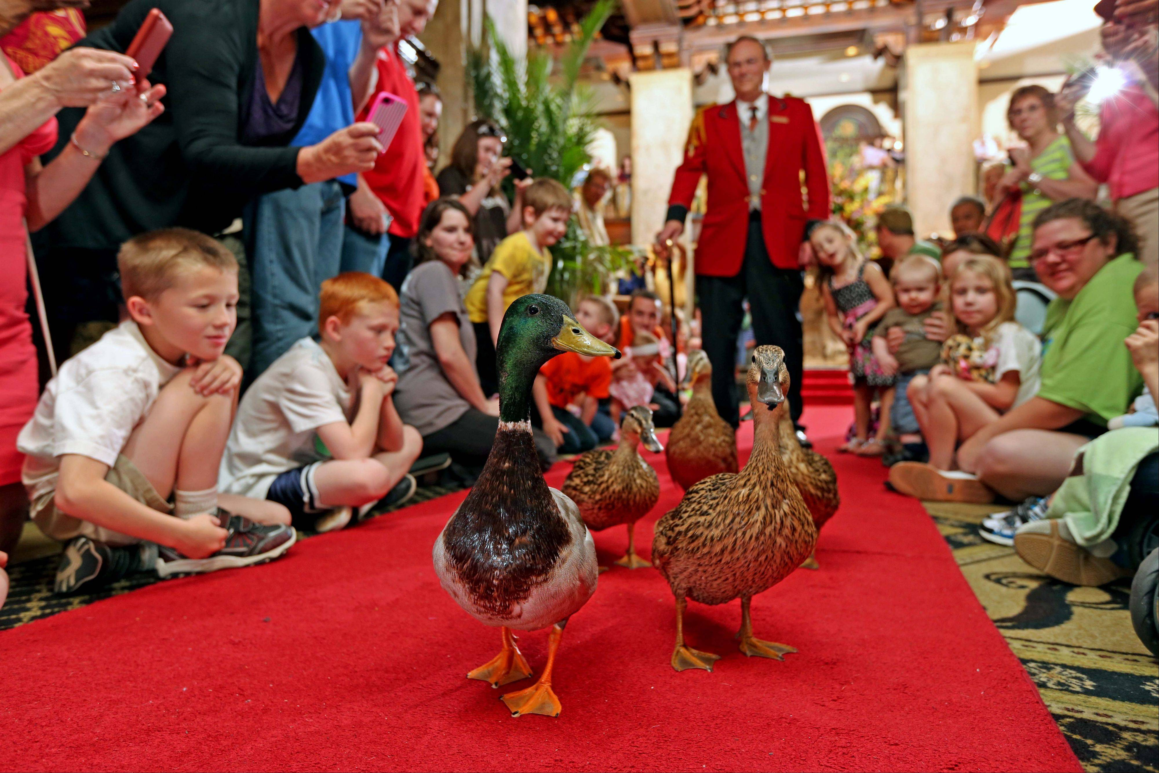 Ducks live in the Peabody Memphis Hotel and visitors are welcome to stop by to watch their twice-a-day parades through the lobby.