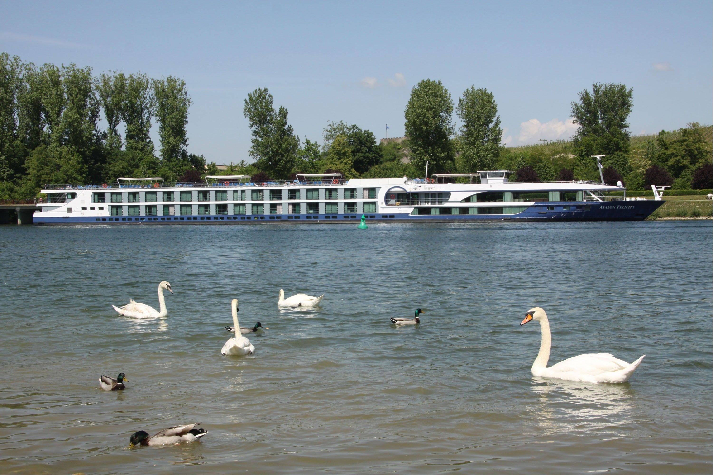 Swans and ducks wade across from the river ship Avalon Felicity on the Rhine River in Breisach, Germany. The small scale of river ships, which typically carry no more than a couple hundred passengers, is a large part of their appeal, in contrast to oceangoing mega-ships that carry thousands.