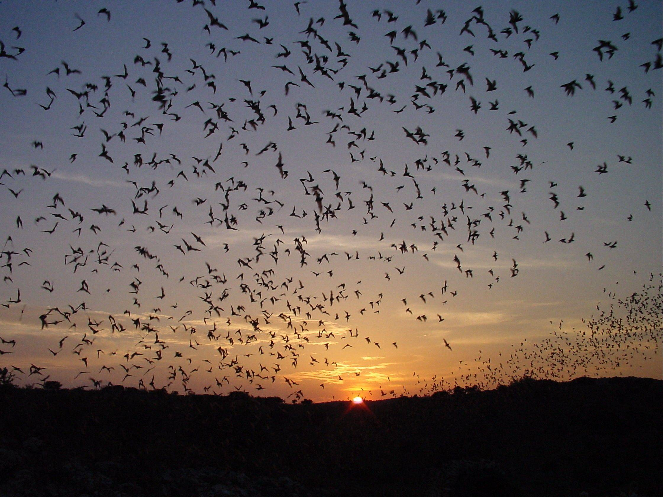 The public is invited to watch as thousands of bats swarm out of Carlsbad Caverns each evening at sunset through mid-October.