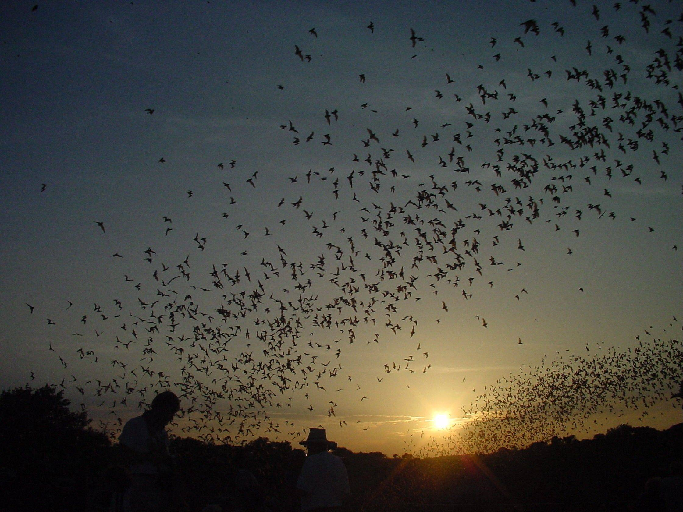 Through mid-October, thousands of bats swarm out of the cave mouth of Carlsbad Caverns National Park in New Mexico.
