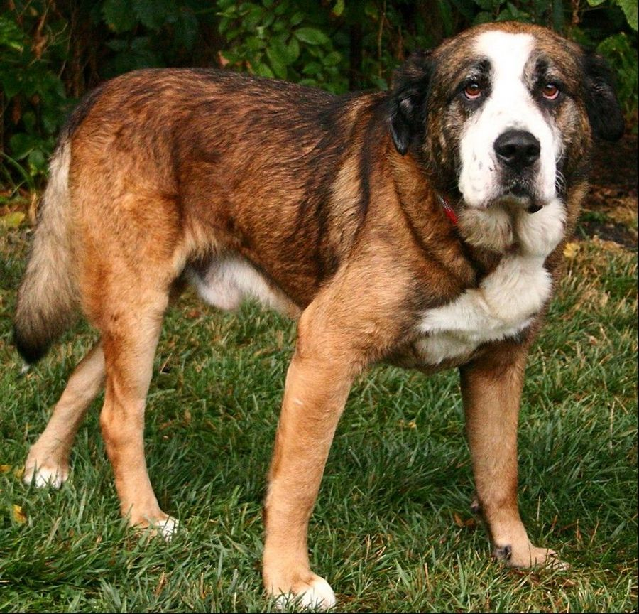 Beethoven, a male Saint Bernard mix, weighs 75 pounds and is approximately 3 years old.