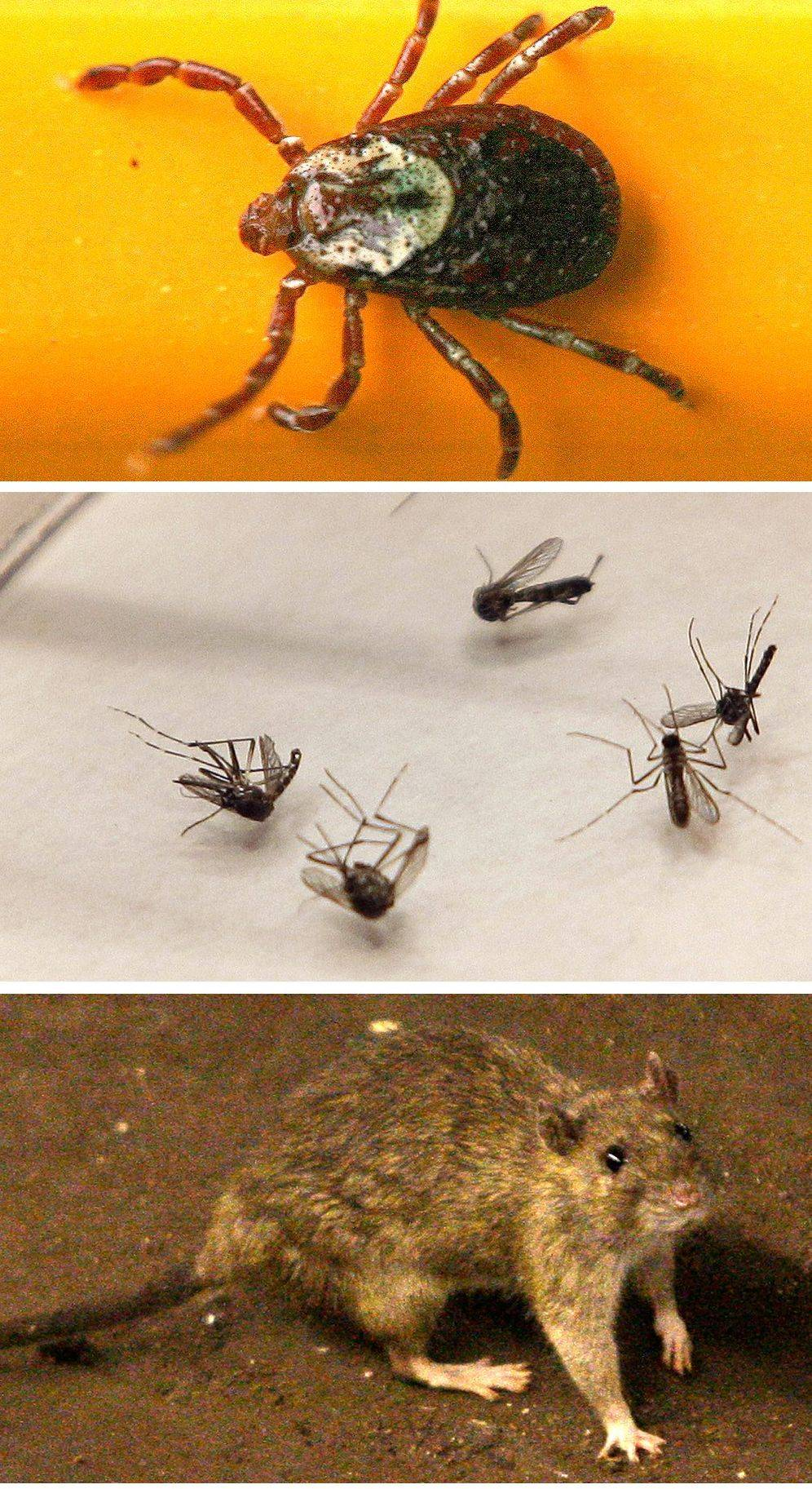 Hantavirus, West Nile, Lyme disease and bubonic plague can be spread by ticks, top photo, mosquitoes and rats.
