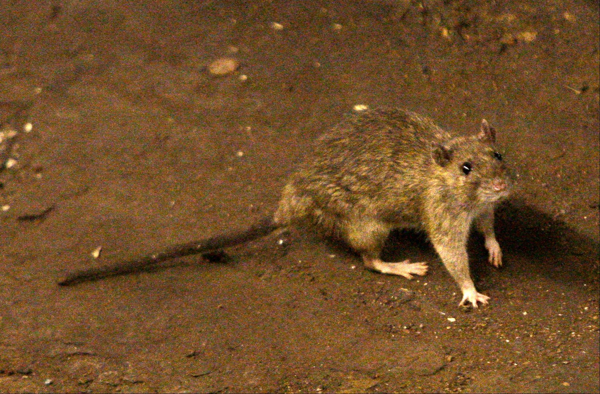 A rat wanders the subway tracks at Union Square in New York. Bubonic plague can spread through contact with an infected flea, rodent or cat.