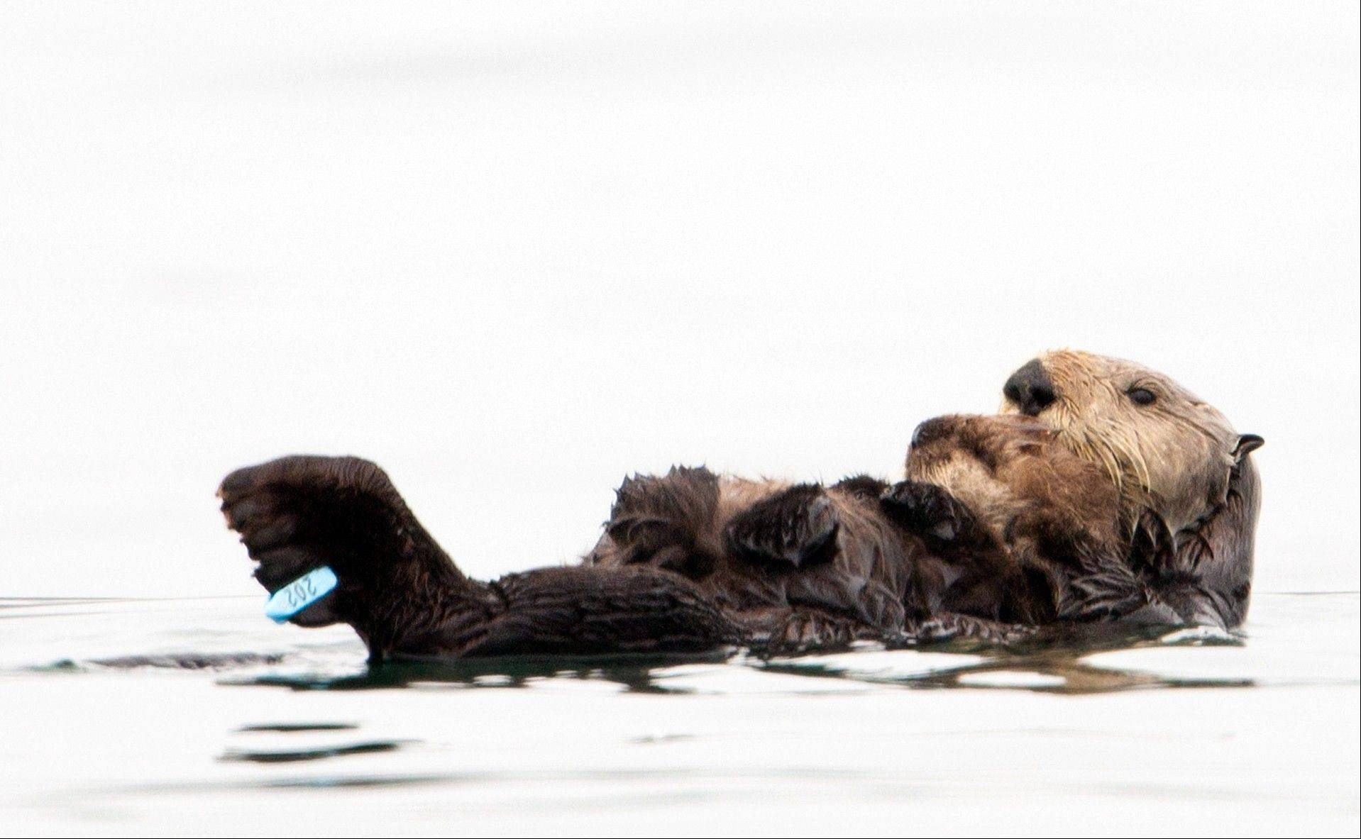Associated Press/U.S. Geological SurveyA sea otter holds her pup Monday at Seacliff State Beach near Aptos, Calif.