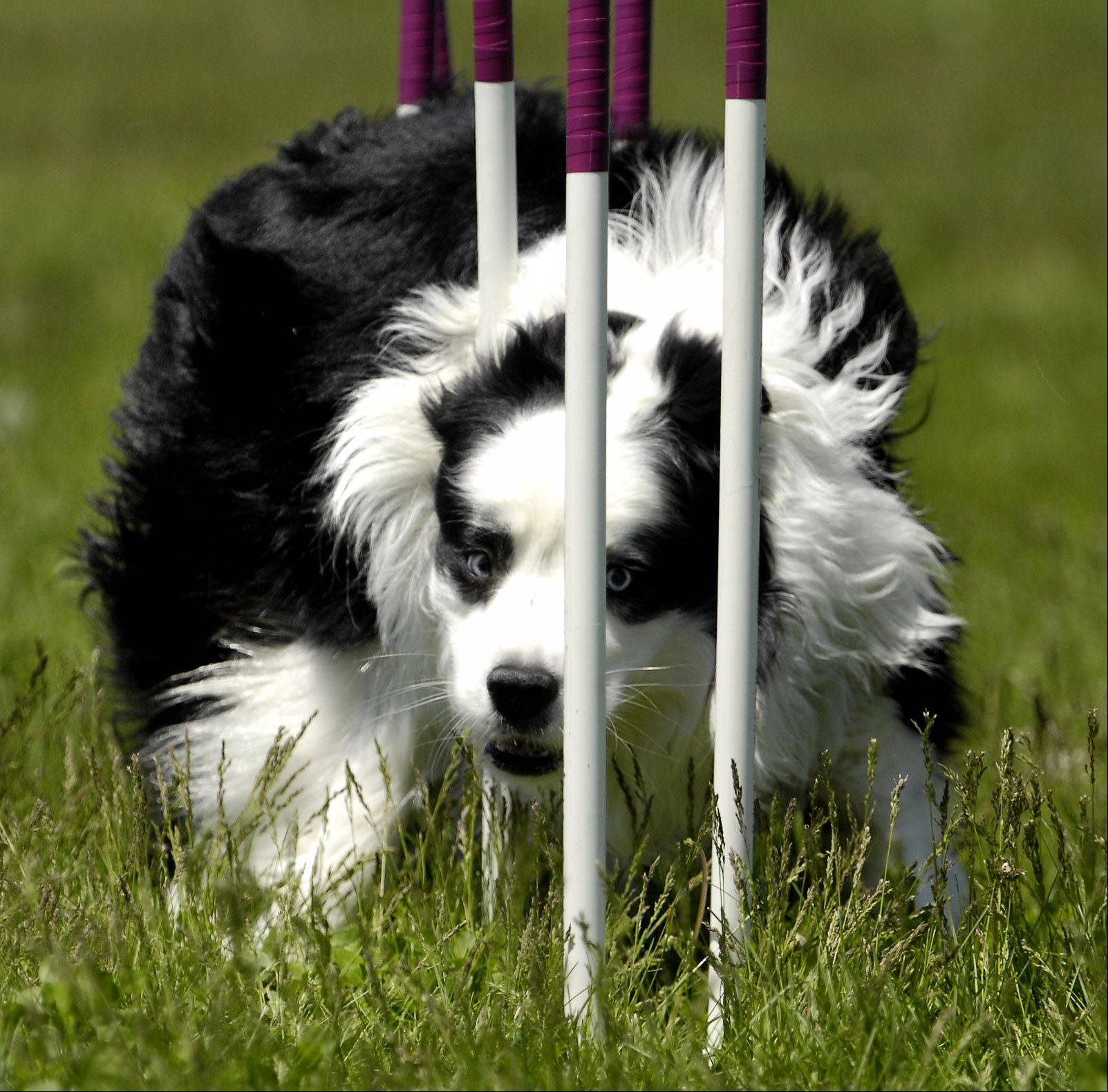 A border collie wiggles his way through the weave poles in an agility course. See if your own dog can do the same at the K9 Trace & Pace Fundraiser in Waukegan.