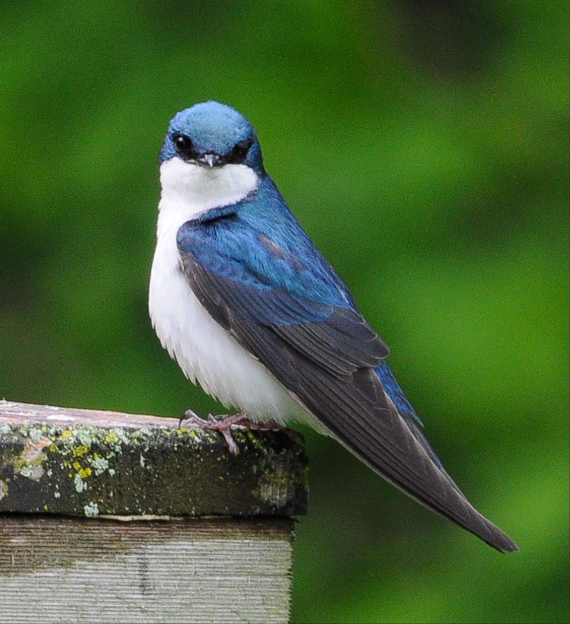 Certain birds can stop you in your tracks, like this tree swallow, photographed at Cantigny Park. It�s a common species in DuPage County during spring and summer.