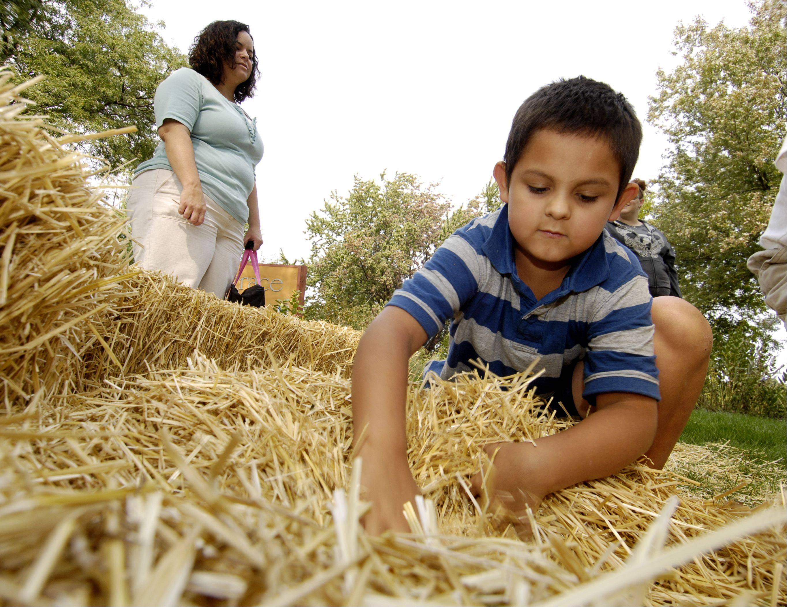 Max Paton, 7, digs for a Popsicle stick in the haystack to win some candy during the annual Prairie Days Sunday at Terrace View Park in Lombard.