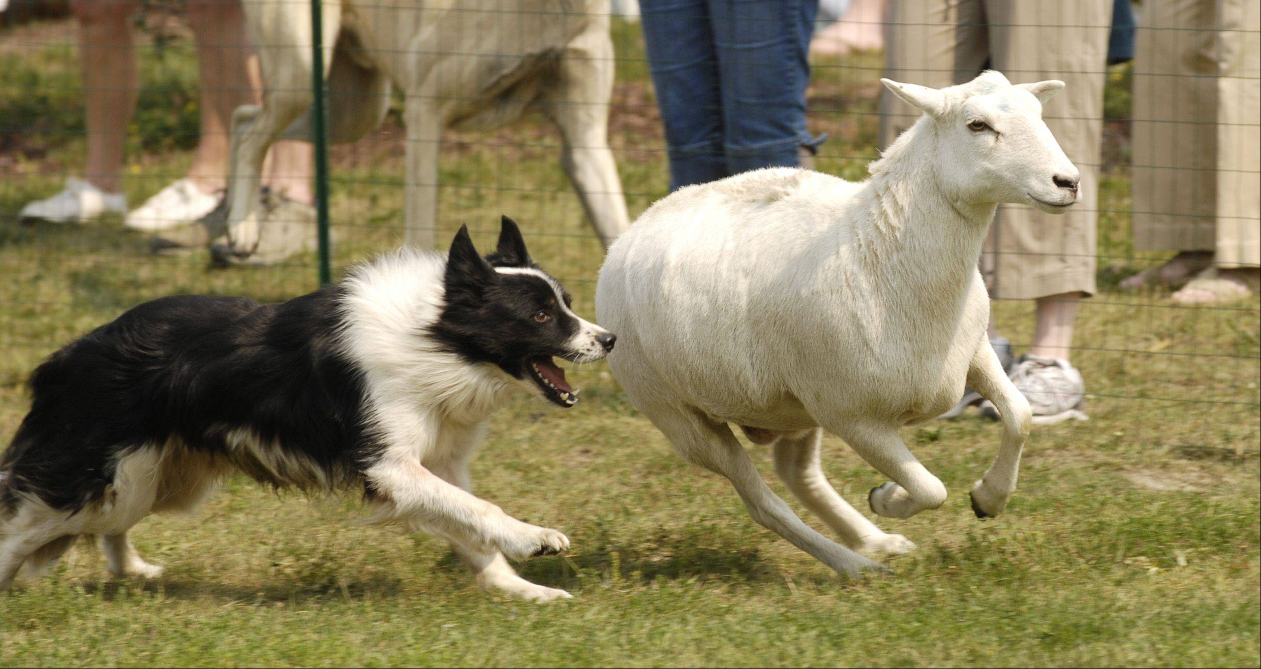 "Border Collie ""Cap,"" from Heatherhope Farm in Sycamore, works sheep for spectators Sunday during the CSBarks Dog Festival at the Town Center in Carol Stream."