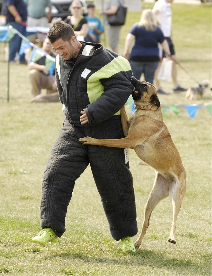 """Beulah"" subdues the ""bad guy,"" Dennis Bilik of Wolf's Lair K9, during a demonstration Sunday at the CSBarks Dog Festival at the Town Center in Carol Stream."