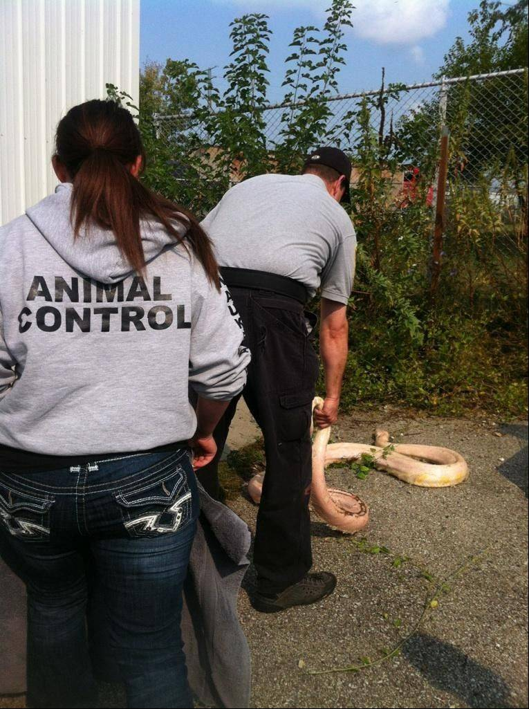 Waukegan Animal Control employees capture Burmese python Monday morning after an employee of a business near Waukegan Harbor discovered the 12- to 15-foot animal in a bush.