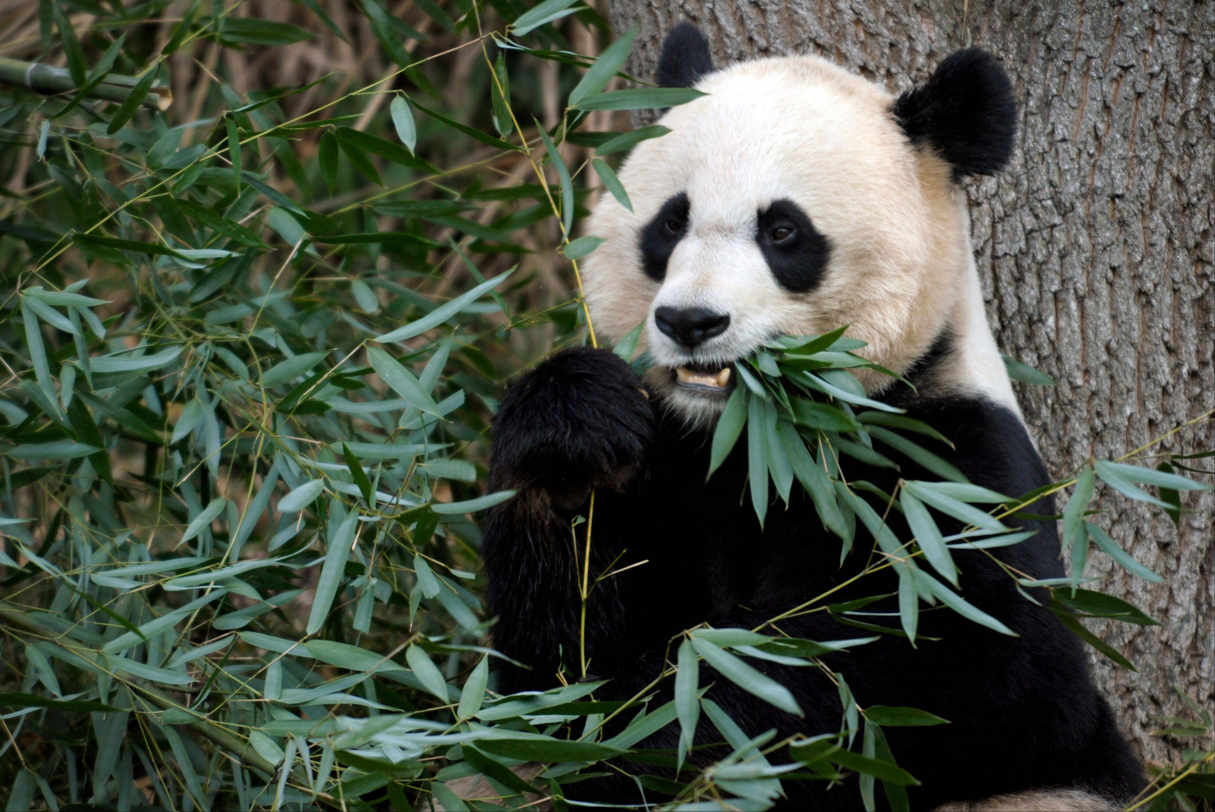 Mei Xiang, the female giant panda at the Smithsonian�s National Zoo in Washington, has given birth to a cub following five consecutive pseudopregnancies in as many years.