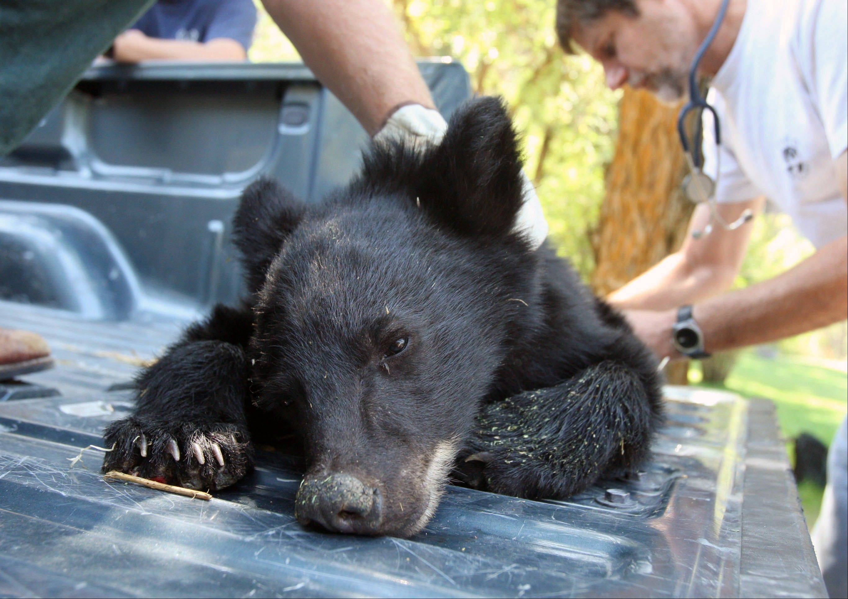 A bear cub nicknamed Boo Boo is examined Aug. 28 by Idaho officials after he was found by firefighters trying to escape a wildfire near Salmon, Idaho.