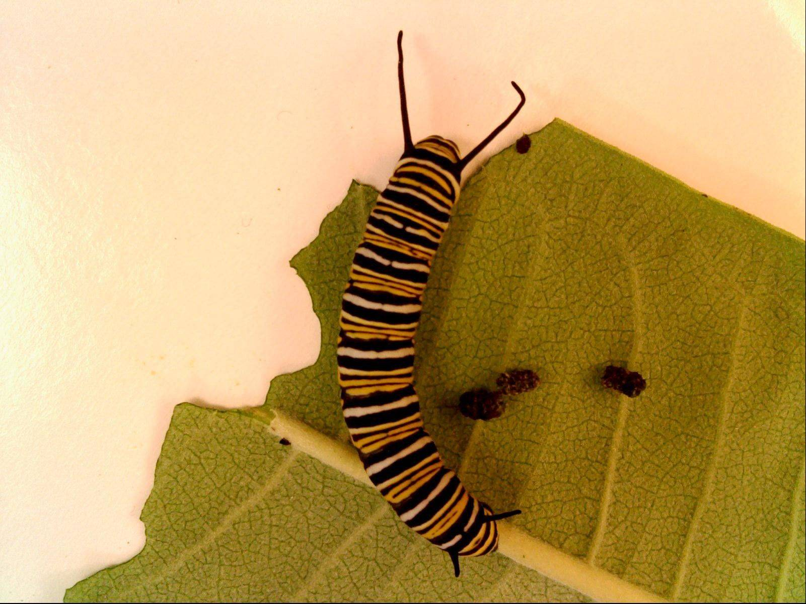 A caterpillar under glass in Nancy Gottung's science class.