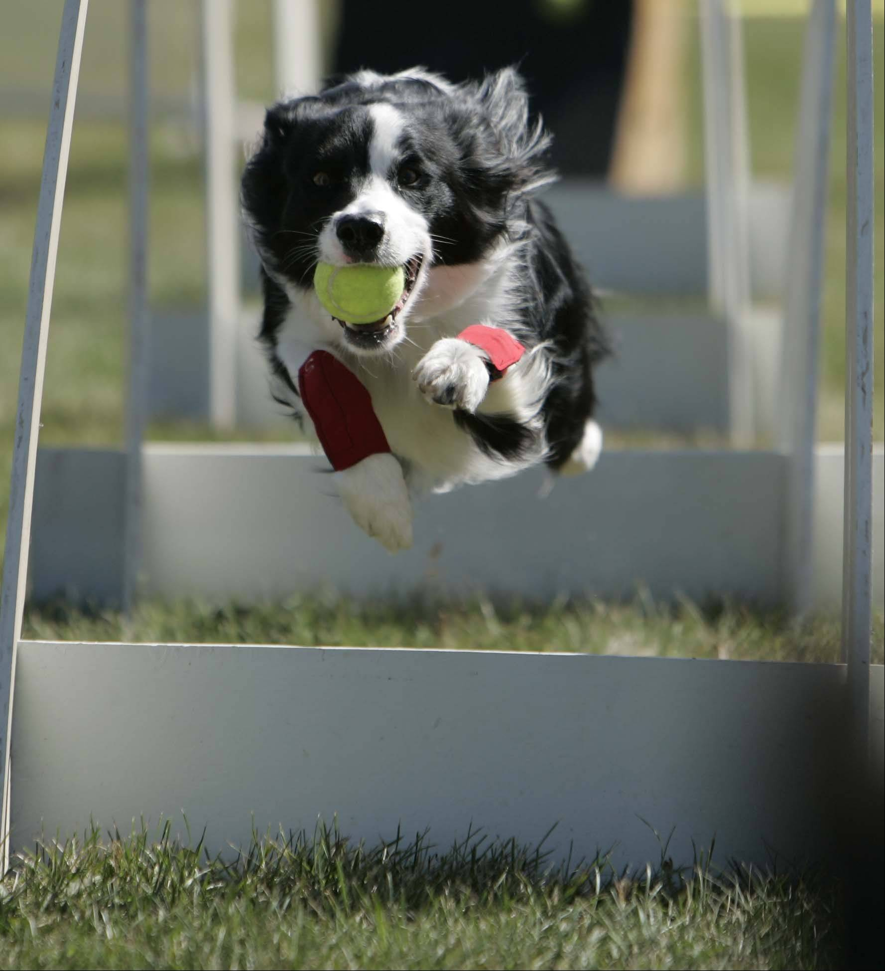 Speed, a border collie makes his way through the course at Dog Days of Dundee Saturday September 8, 2012 at Randall Oaks in West Dundee. Speed and his owner Mollie Sisson came from Milwaukee to participate in the show.